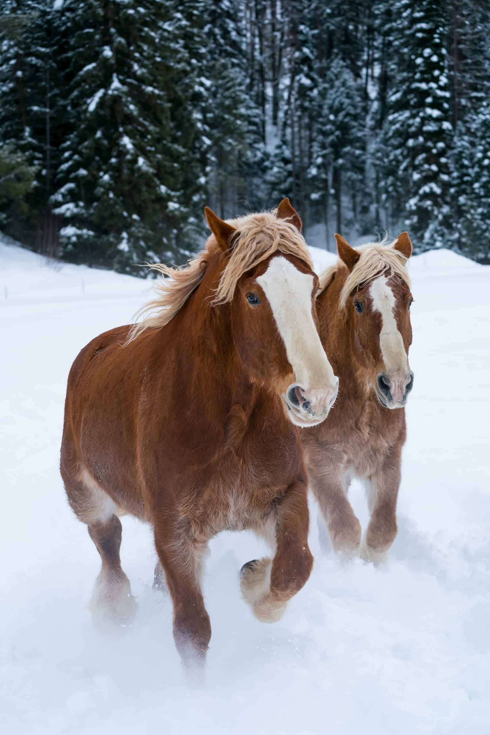 Draft horses race through the Montana snow