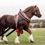Percherons The Fascinating Backstory Behind Our Favorite Cold Blooded Giants