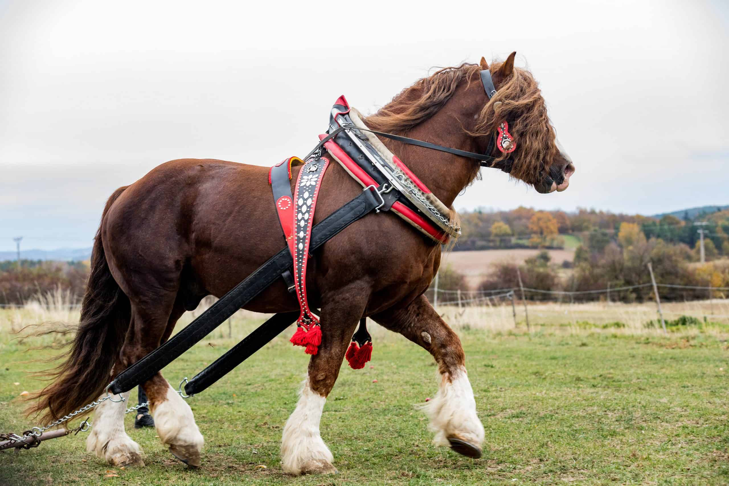 Biggest Horse Breeds in the World