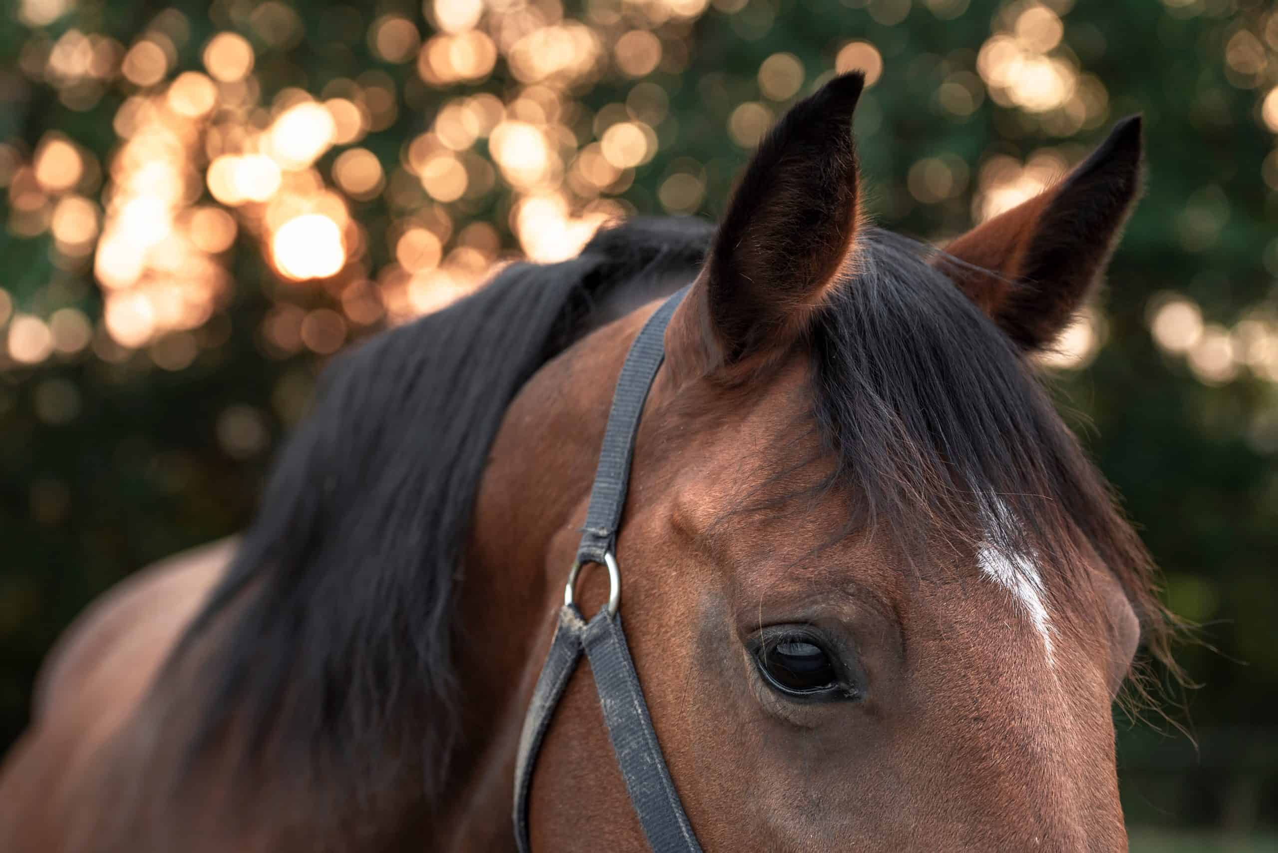Portrait of a dark brown horse with a white spot on forehead, looking down with sad eyes, an image with selective focus in the morning light.