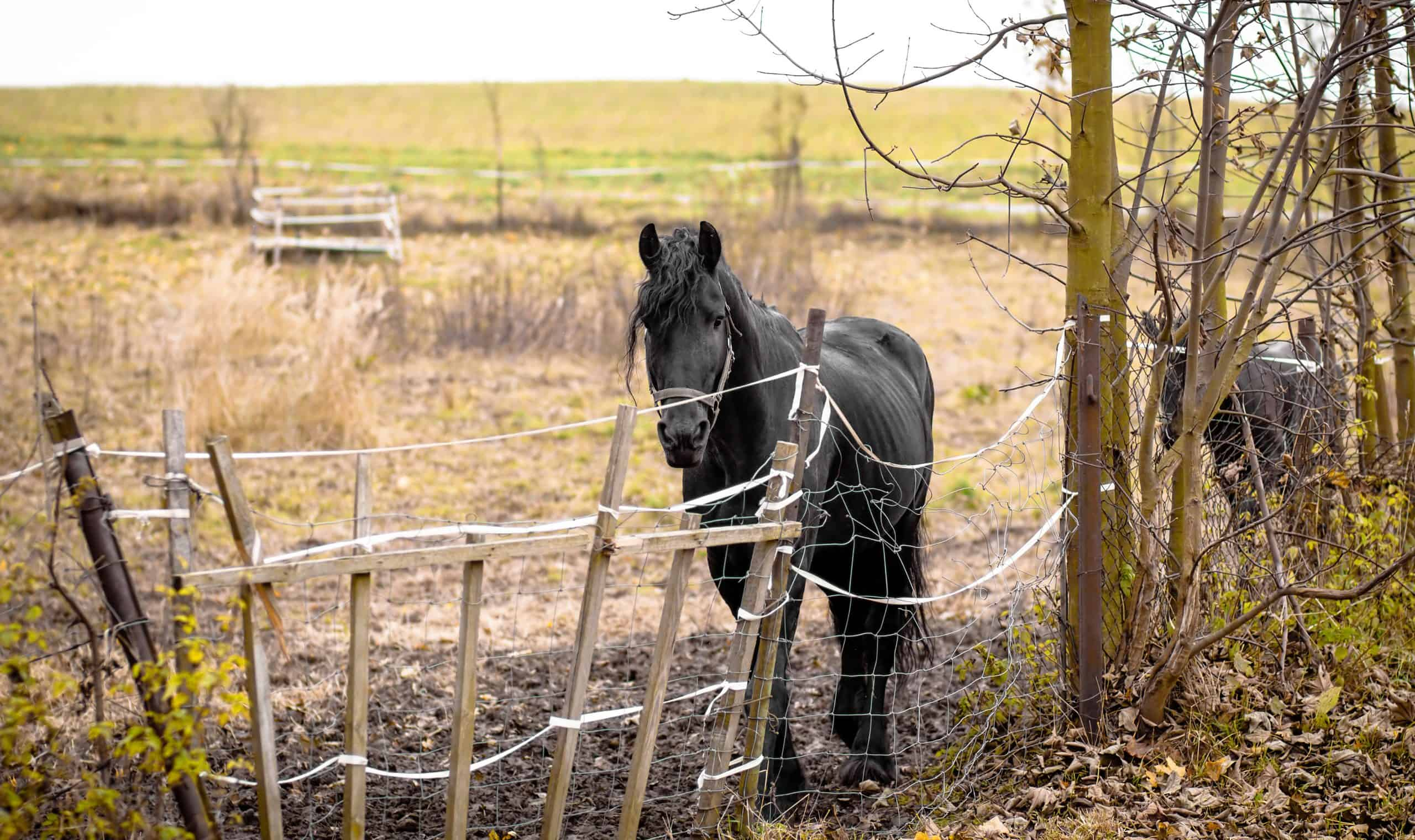 Skinny Horse outside in fenced yard area with ribs showing
