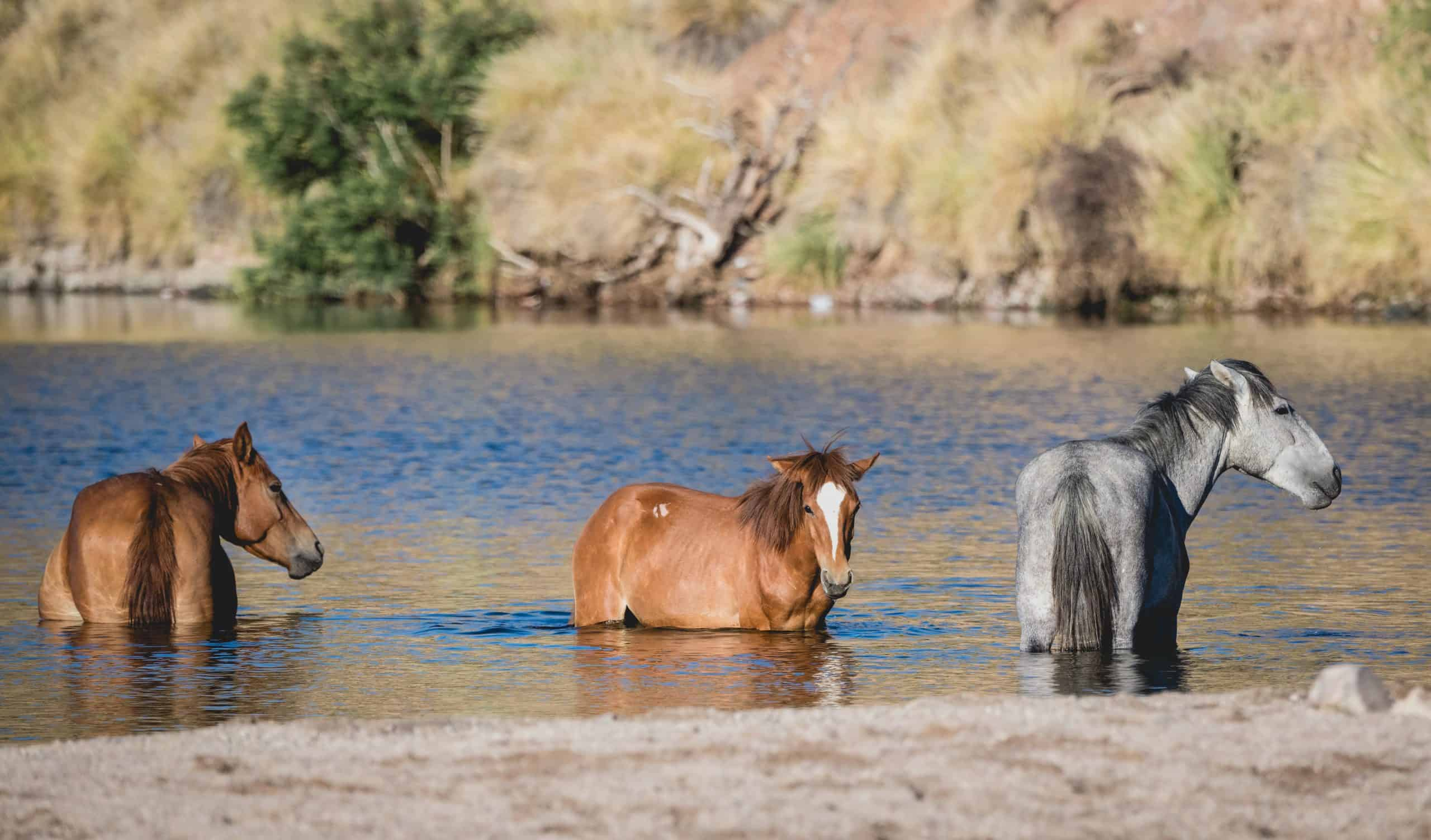 Salt River wild horses cooling off in the river