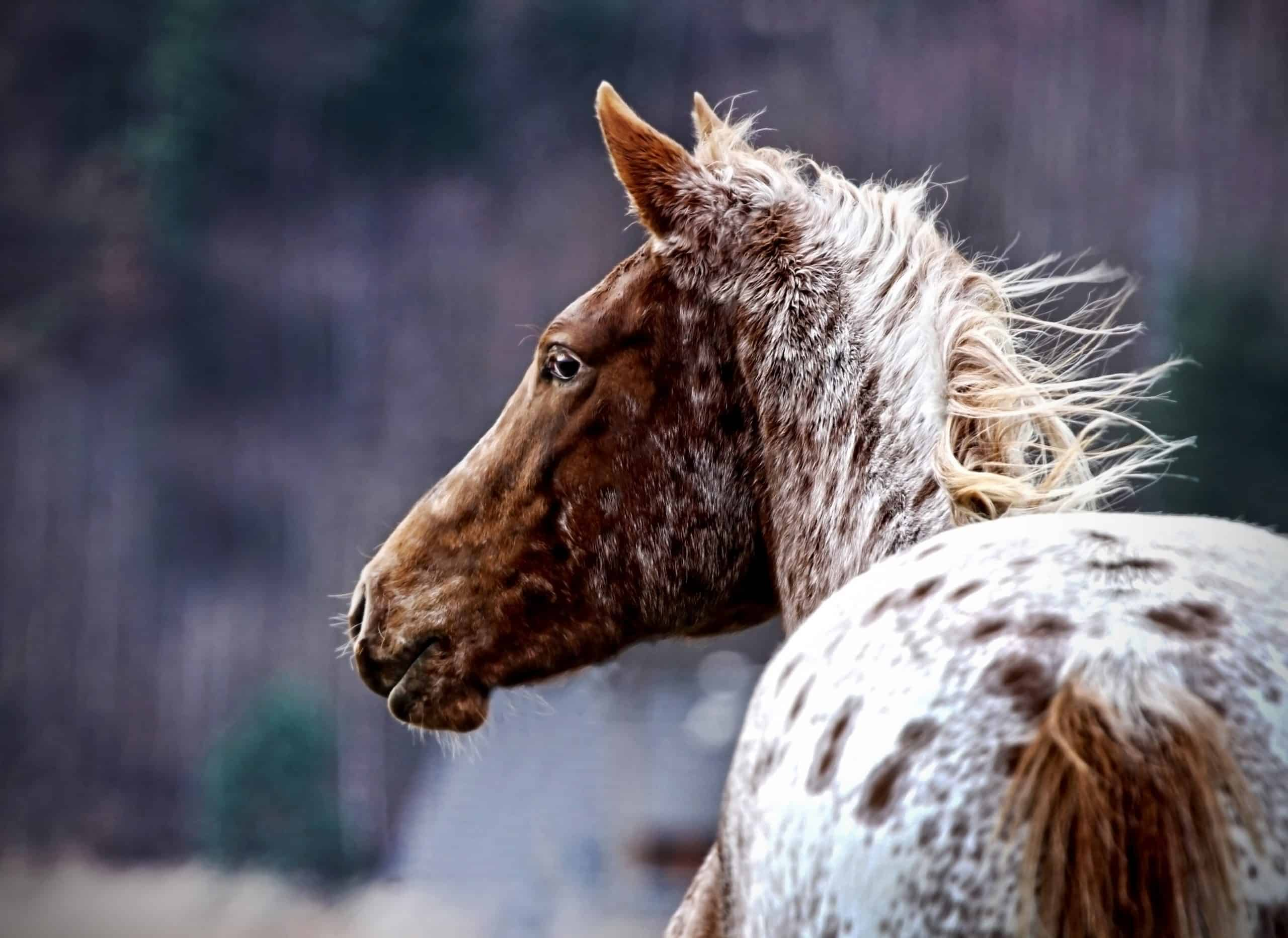 Portrait of a appaloosa horse foal in the wild