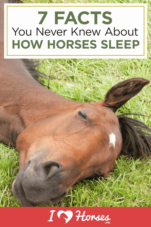how horses sleep