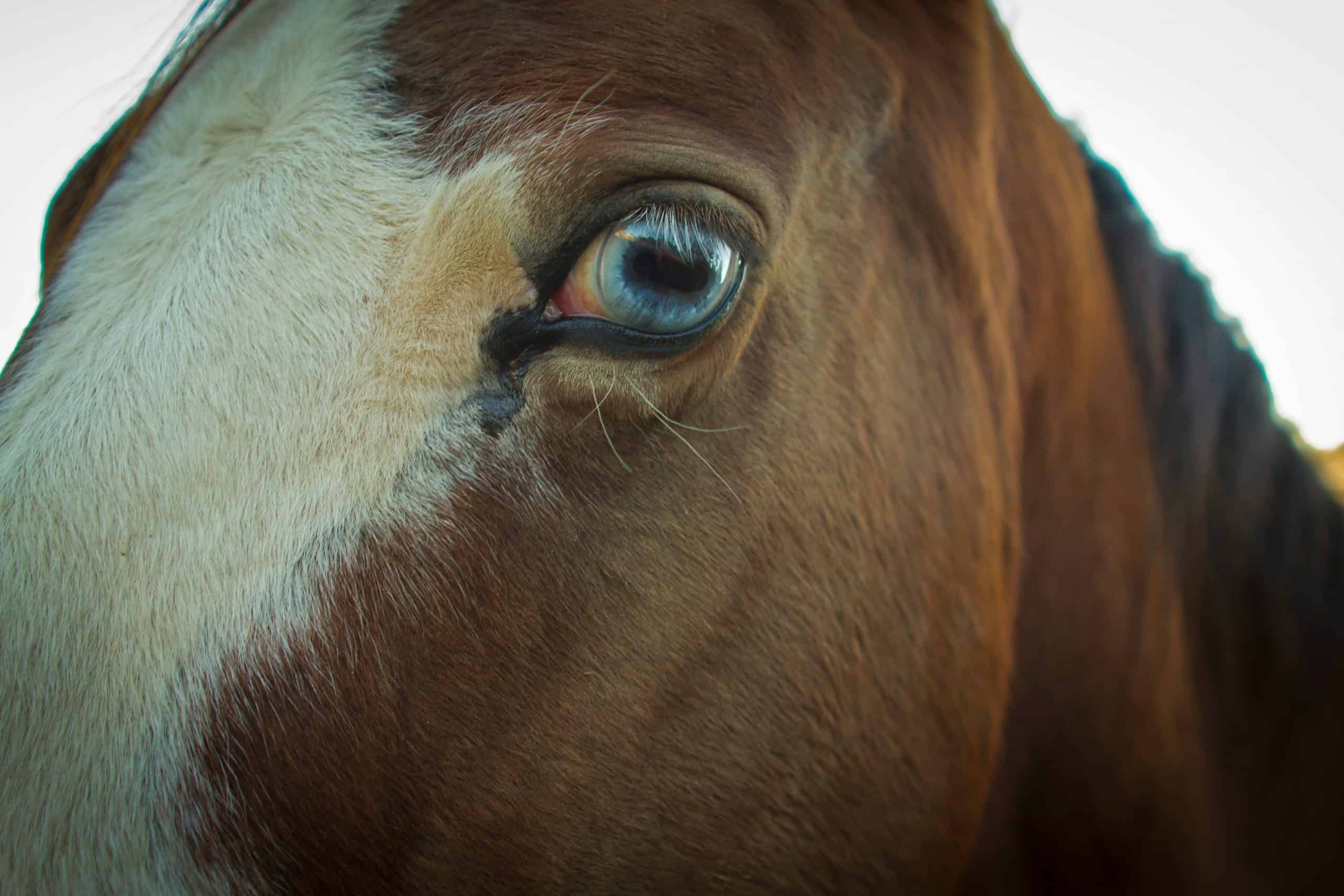 A Horse with an eery blue eye looking at the camera.