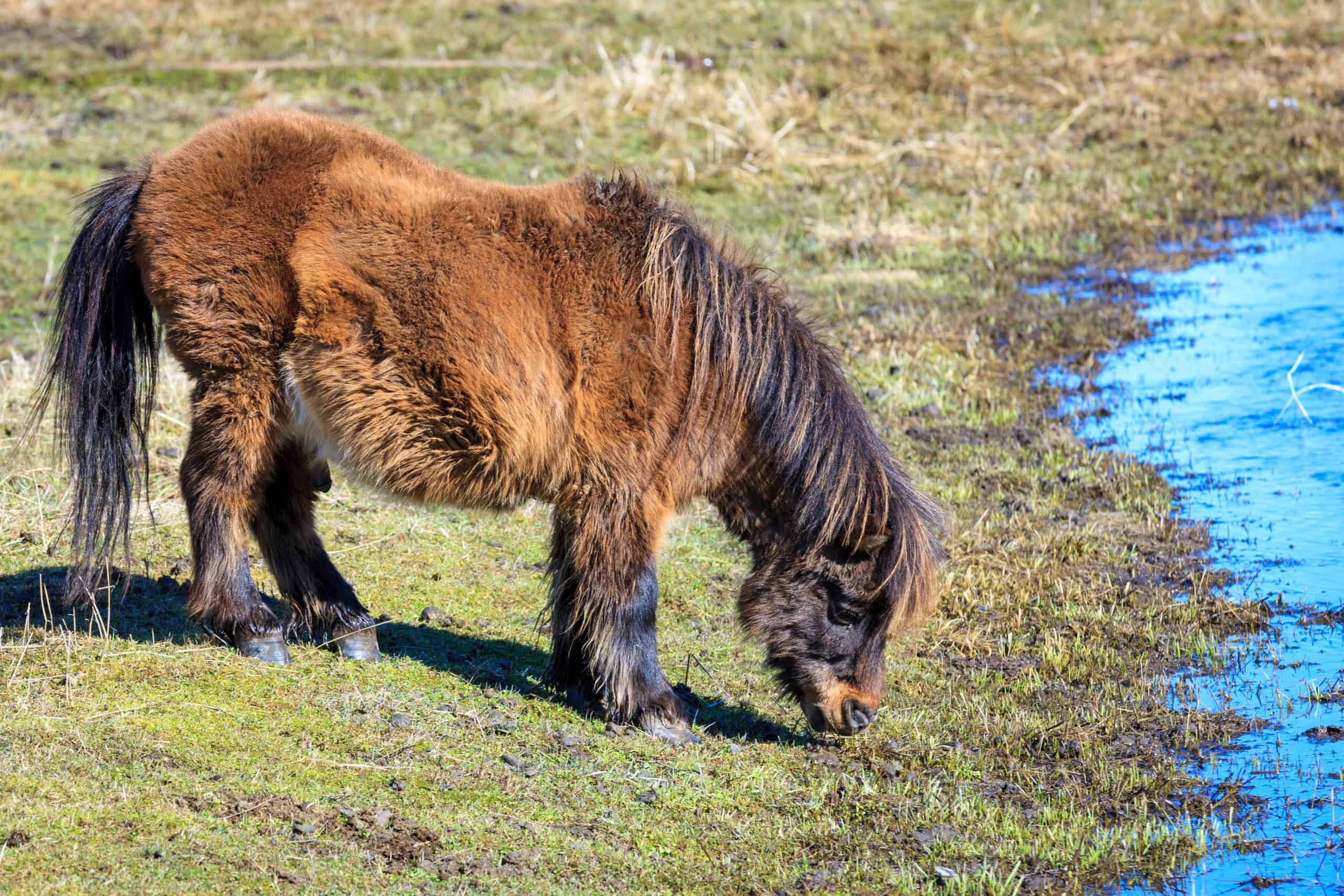 A miniature horse grazes on grass by the stream near Harrison, Idaho.