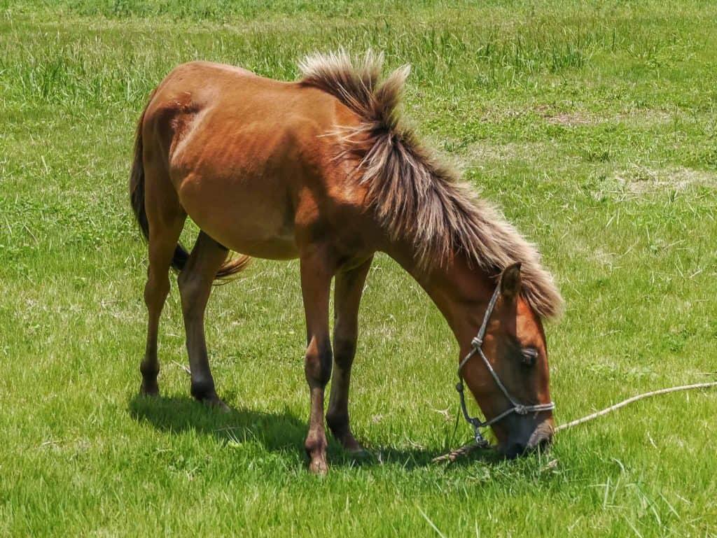 yonaguni ponies
