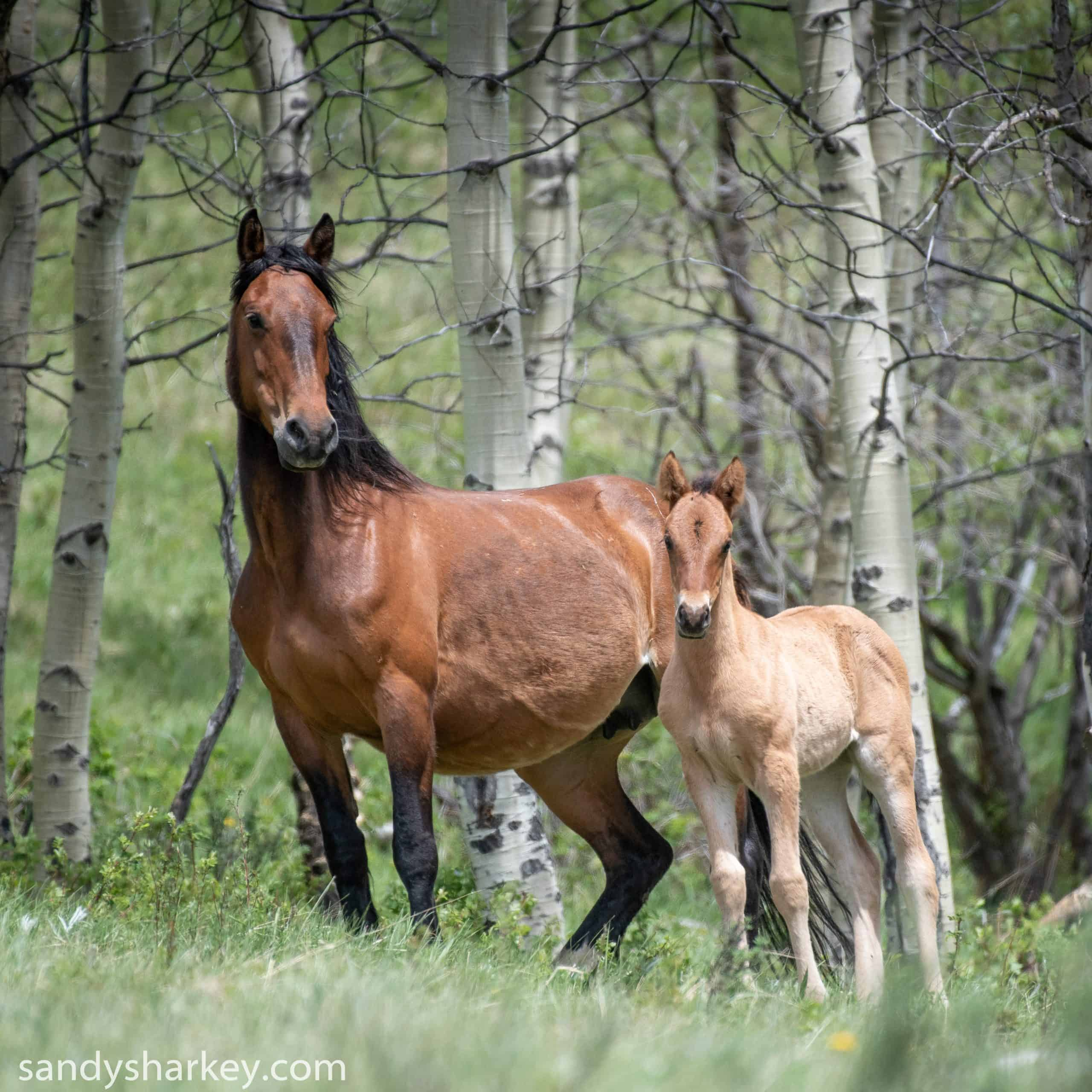 alberta mare and foal_