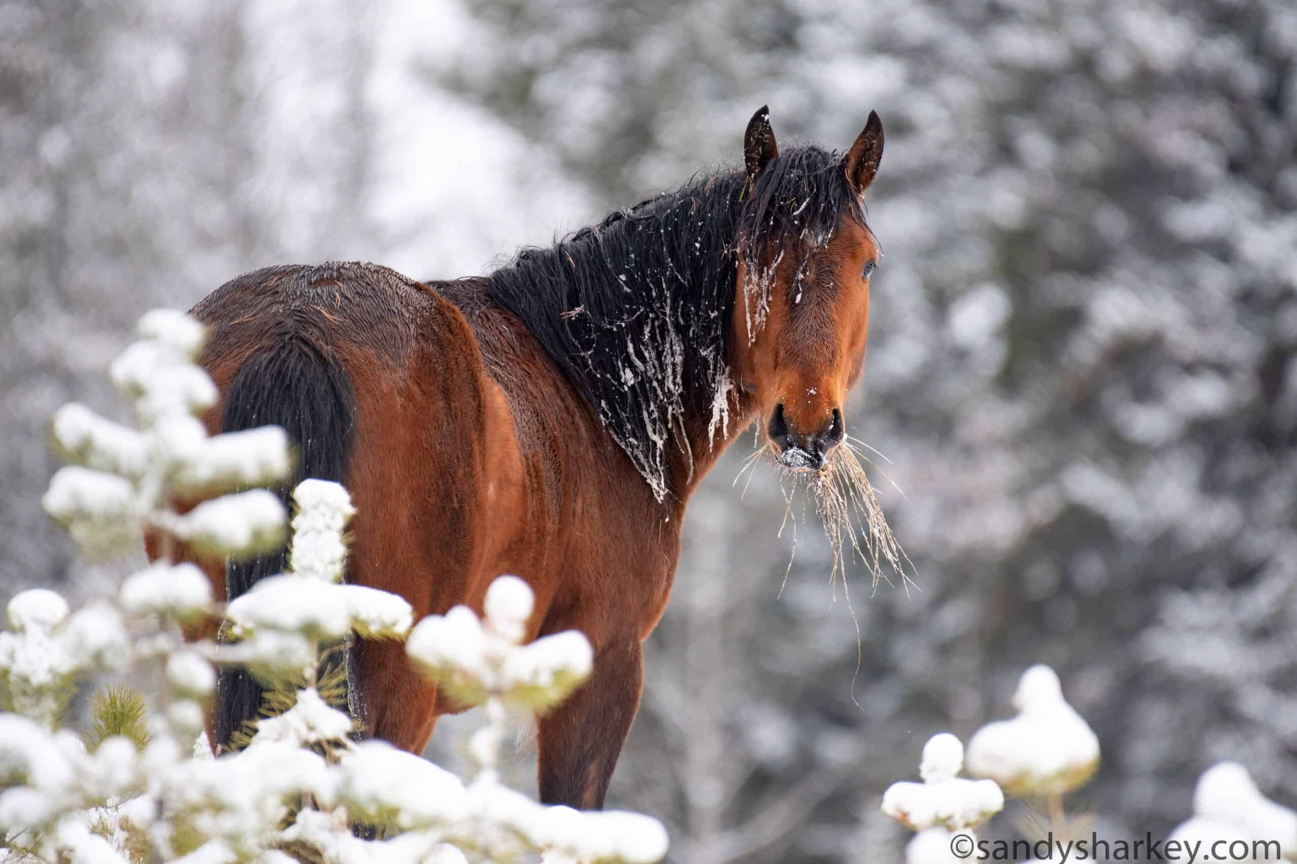 alberta mare in snow_