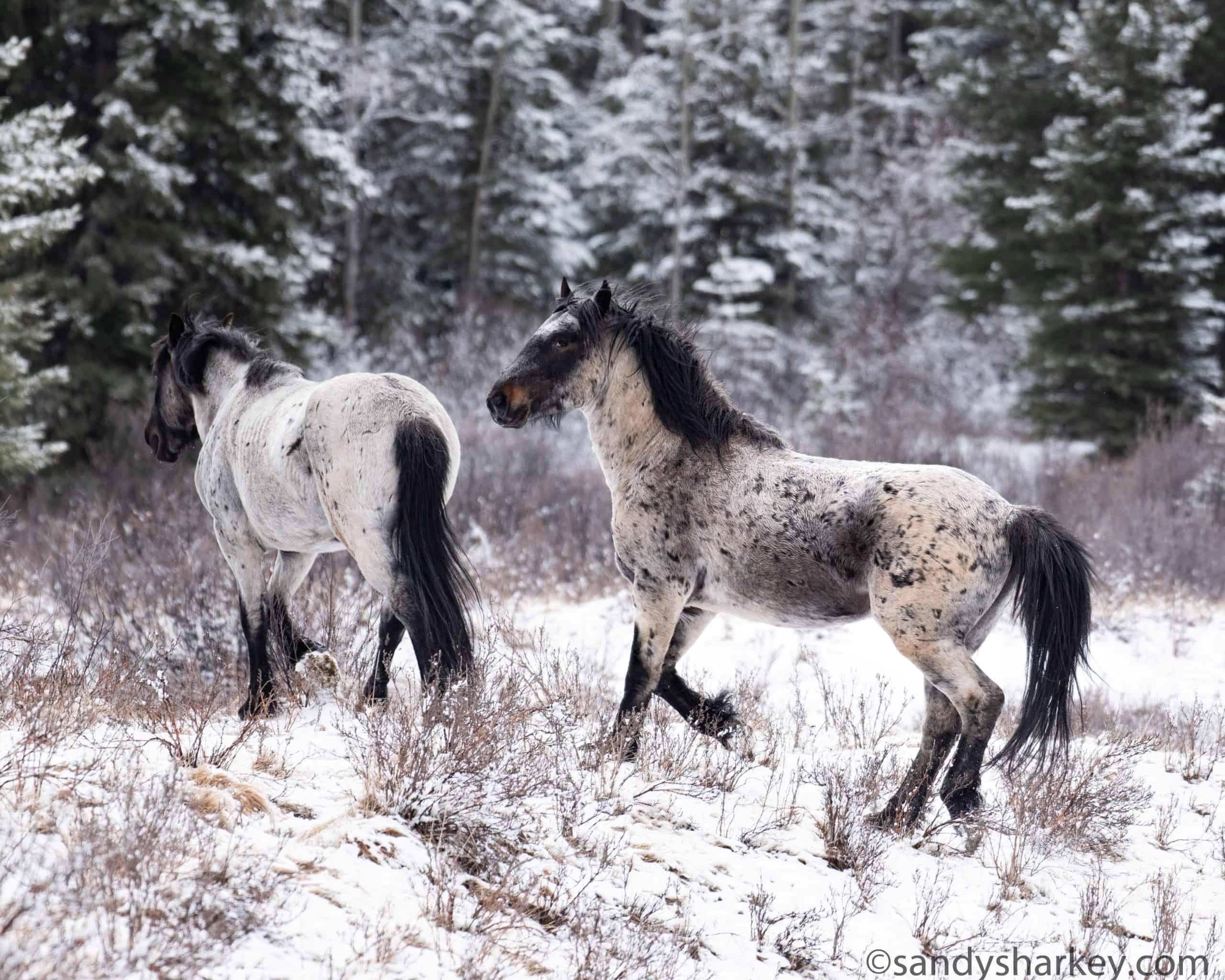 alberta snow roans canada wild horses