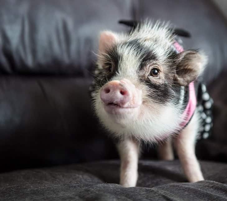 Fluffy the Therapy Pig