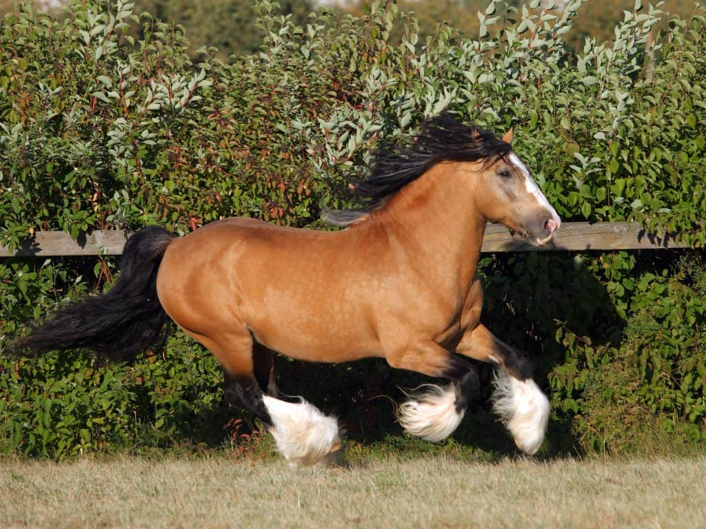 The Gypsy Vanner horse running in the farm