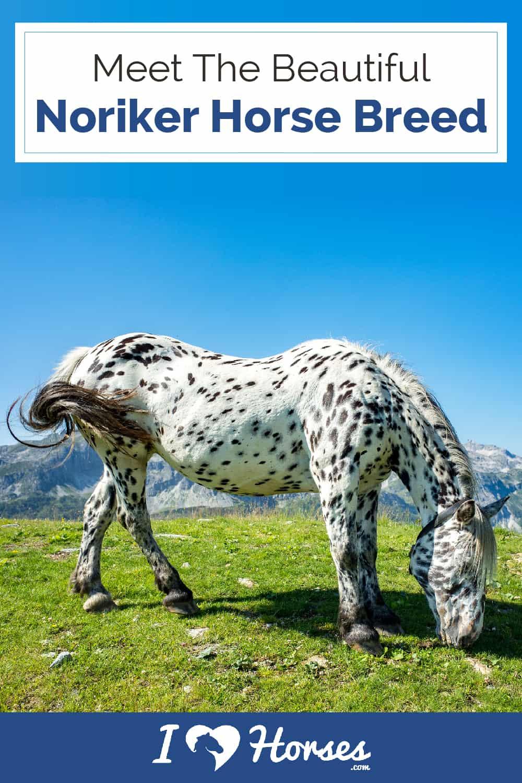 noriker horse