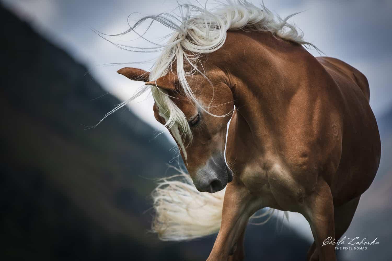 Haflinger horse photo