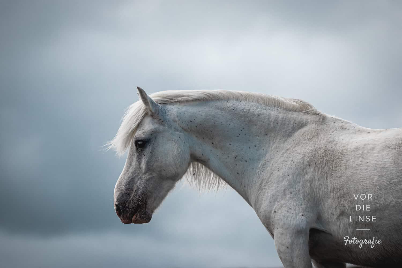 Eriskay horse photo