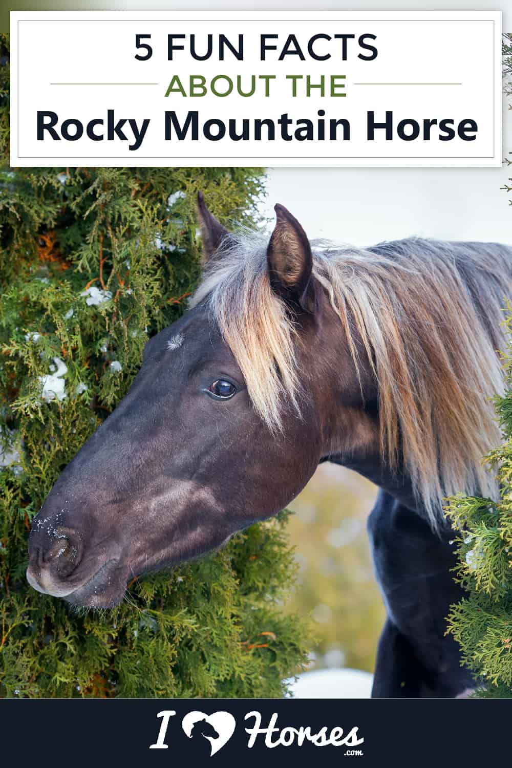 5 Fun Facts About The Rocky Mountain Horse-01