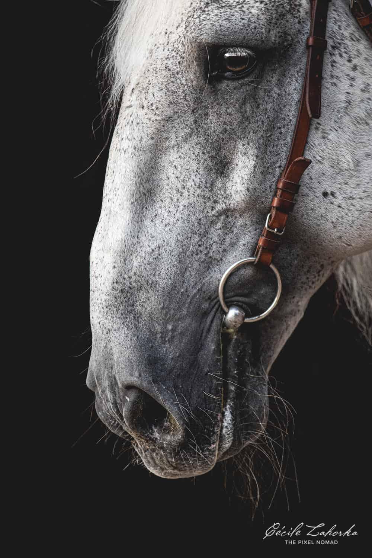 Kladruber horse photo