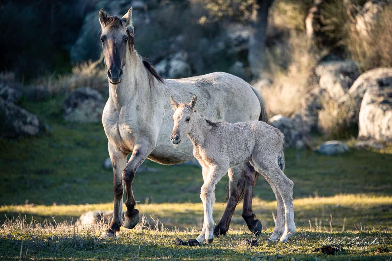 Sorraia horse photo