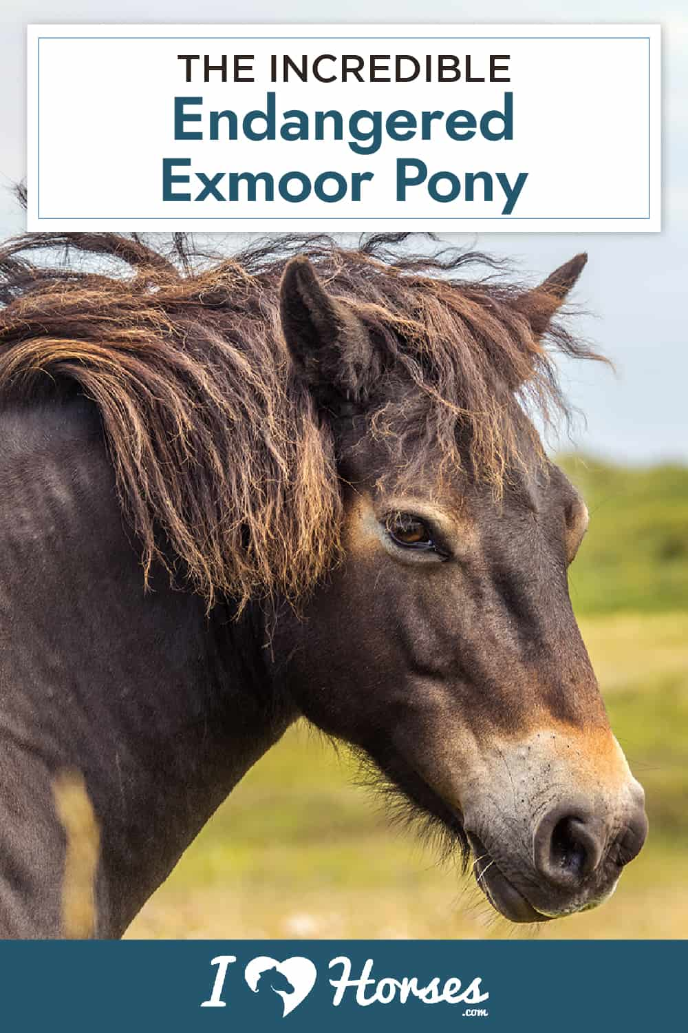 All About the Endangered Exmoor Pony