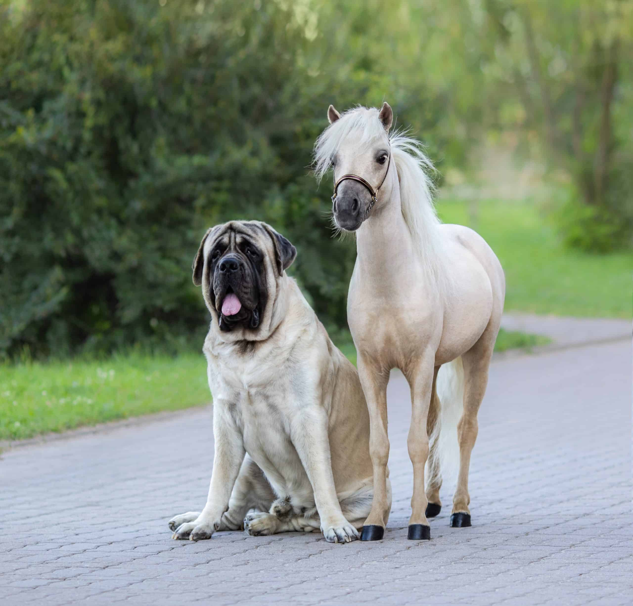 Palomino American Miniature horse standing next to Mastiff dog.