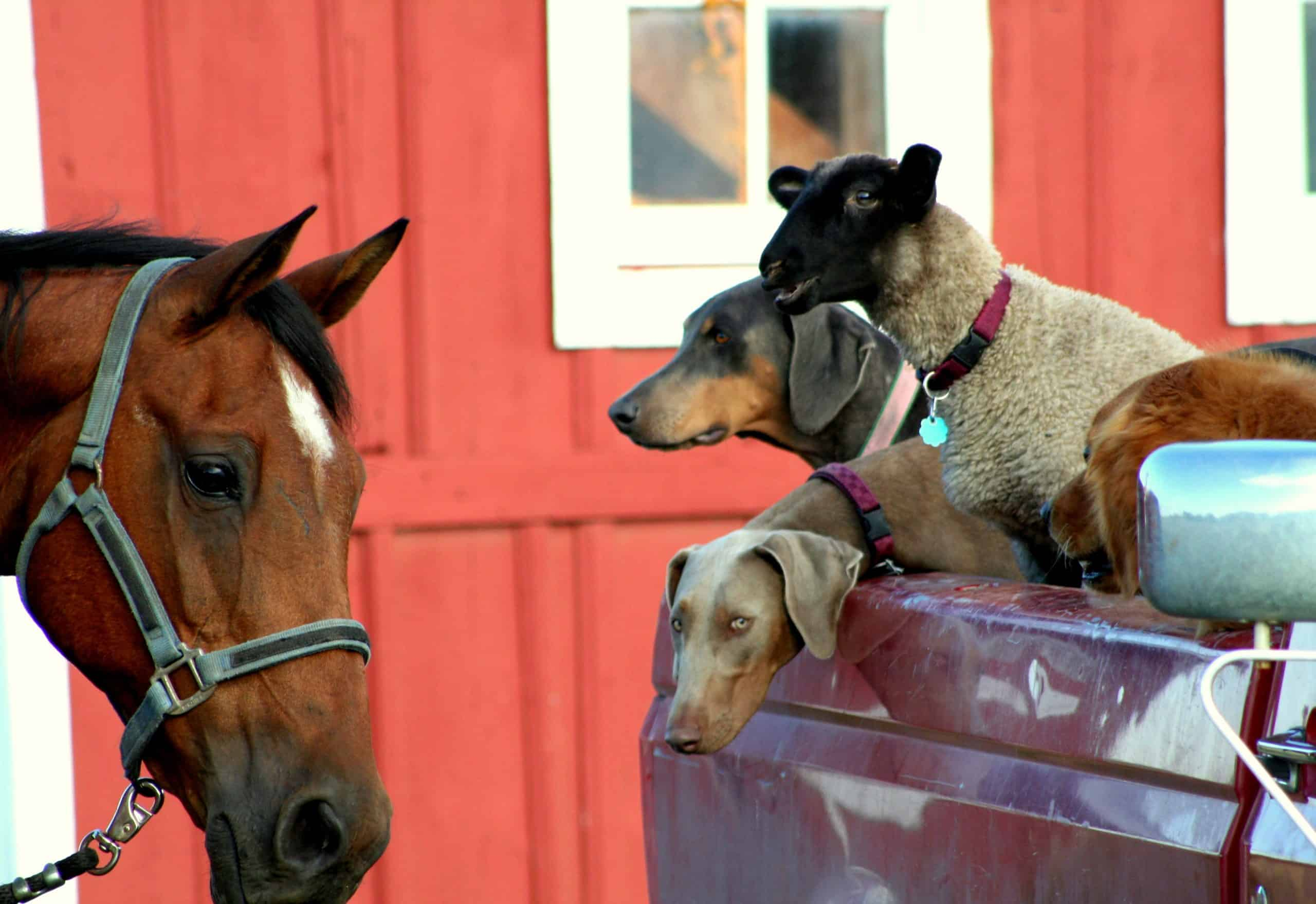 animals in a pickup truck investigating a horse