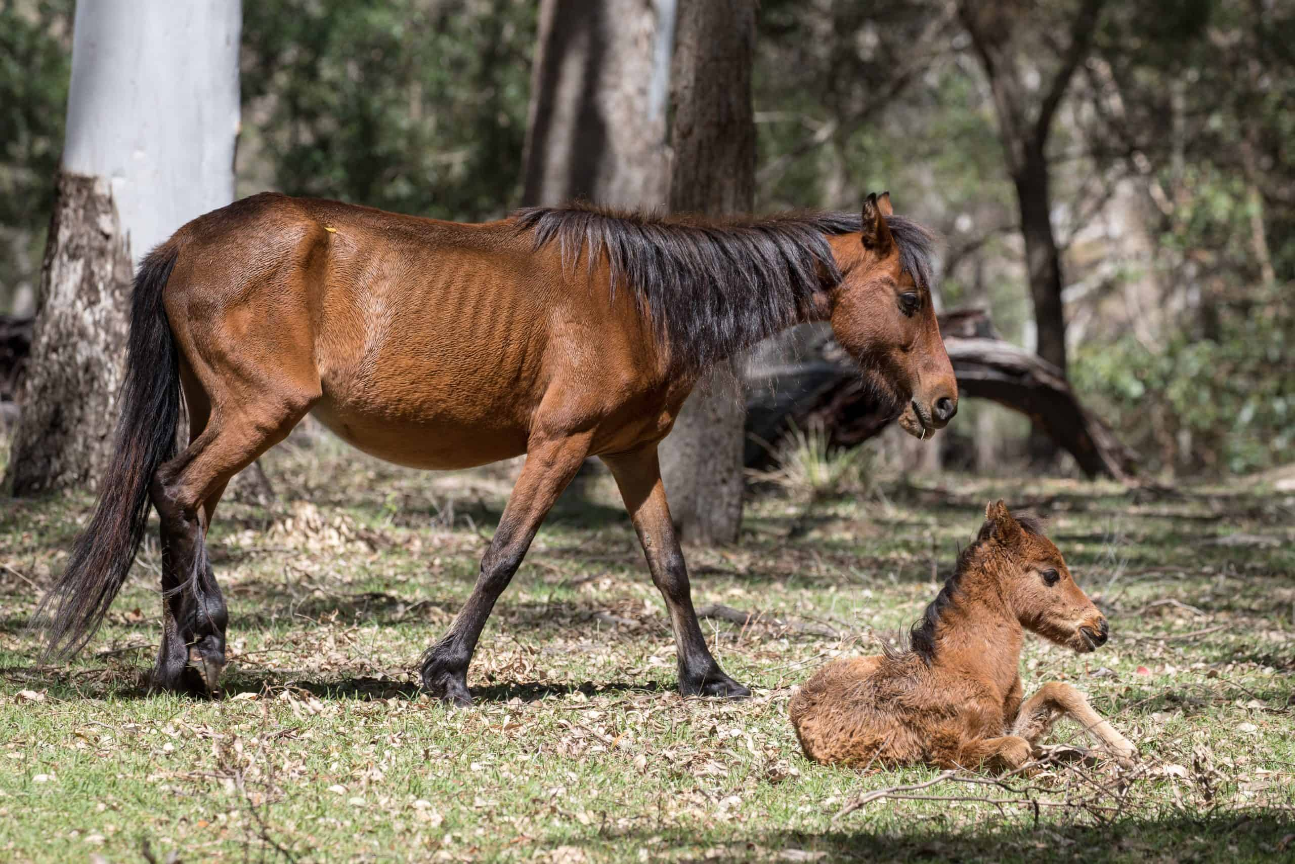 Wild Horse or Brumby with foal, Koombit Tops National Park Queensland Australia