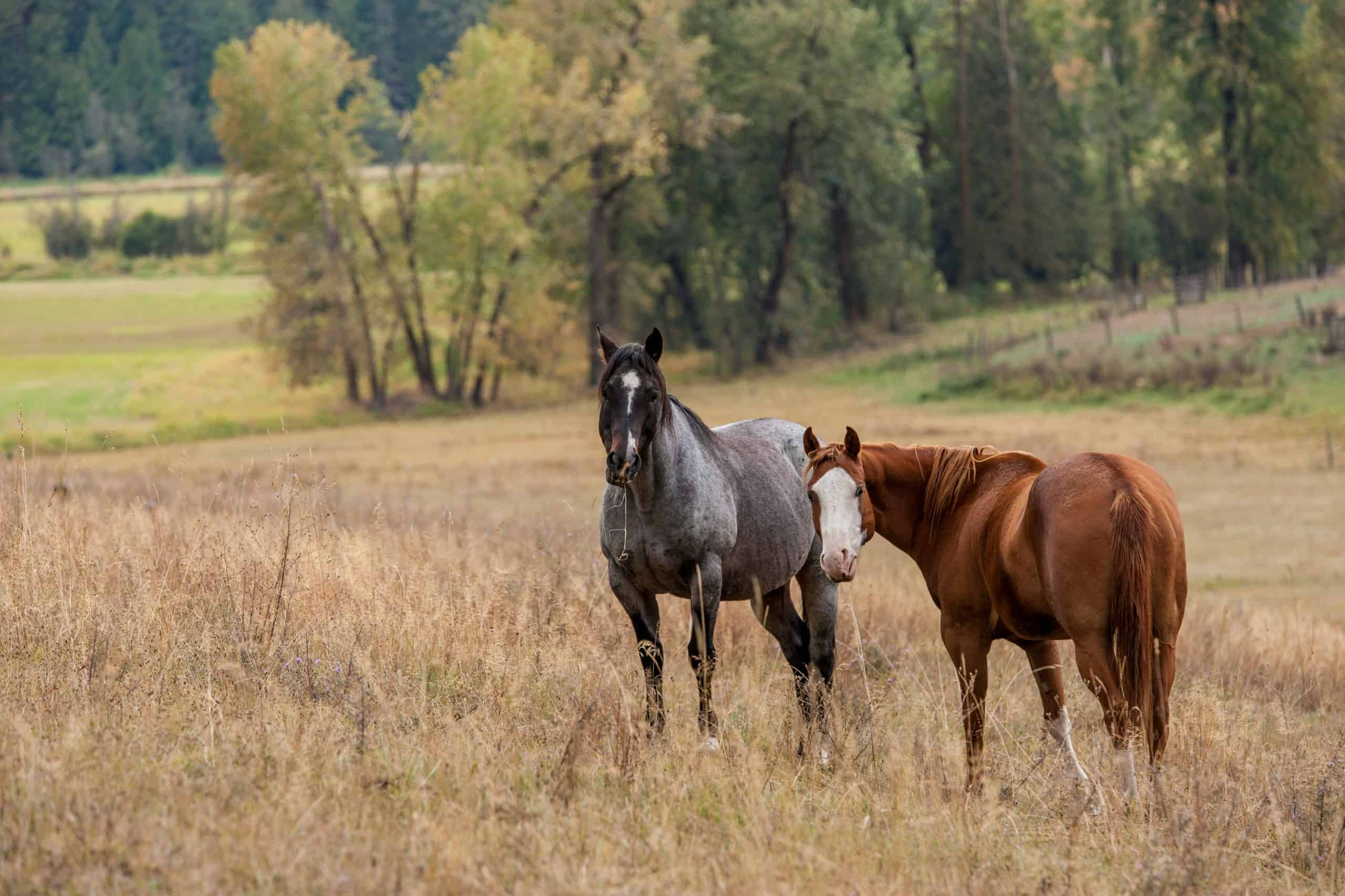 Horses are out in the pasture in north Idaho grazing on the grass.