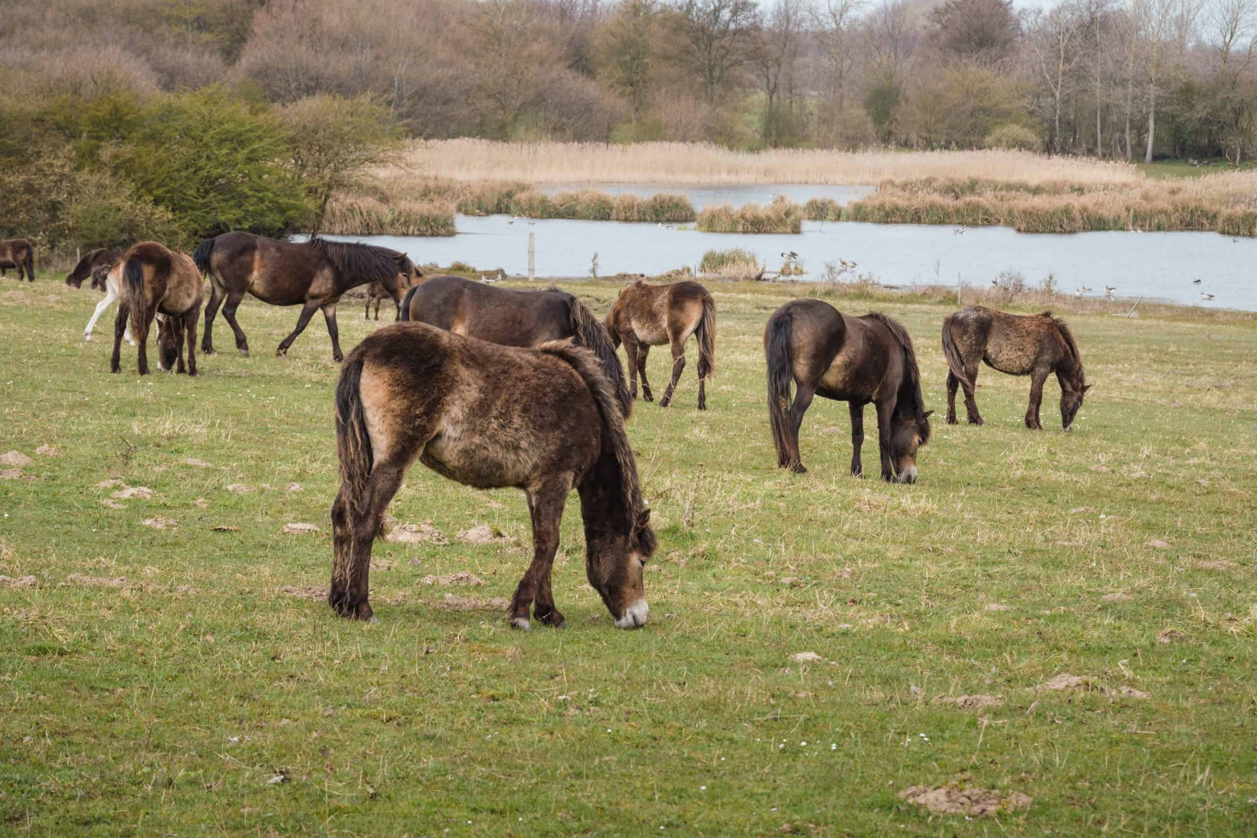 Wild Exmoor ponies on a meadow in Langeland, Denmark