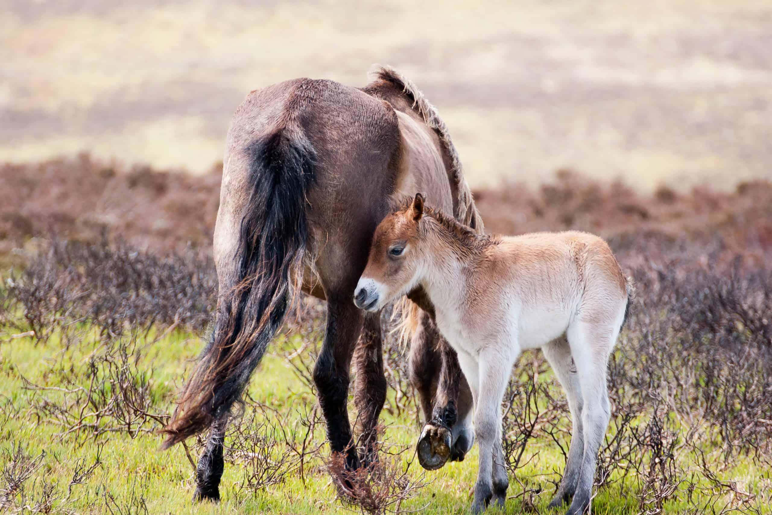 Exmoor pony with foal