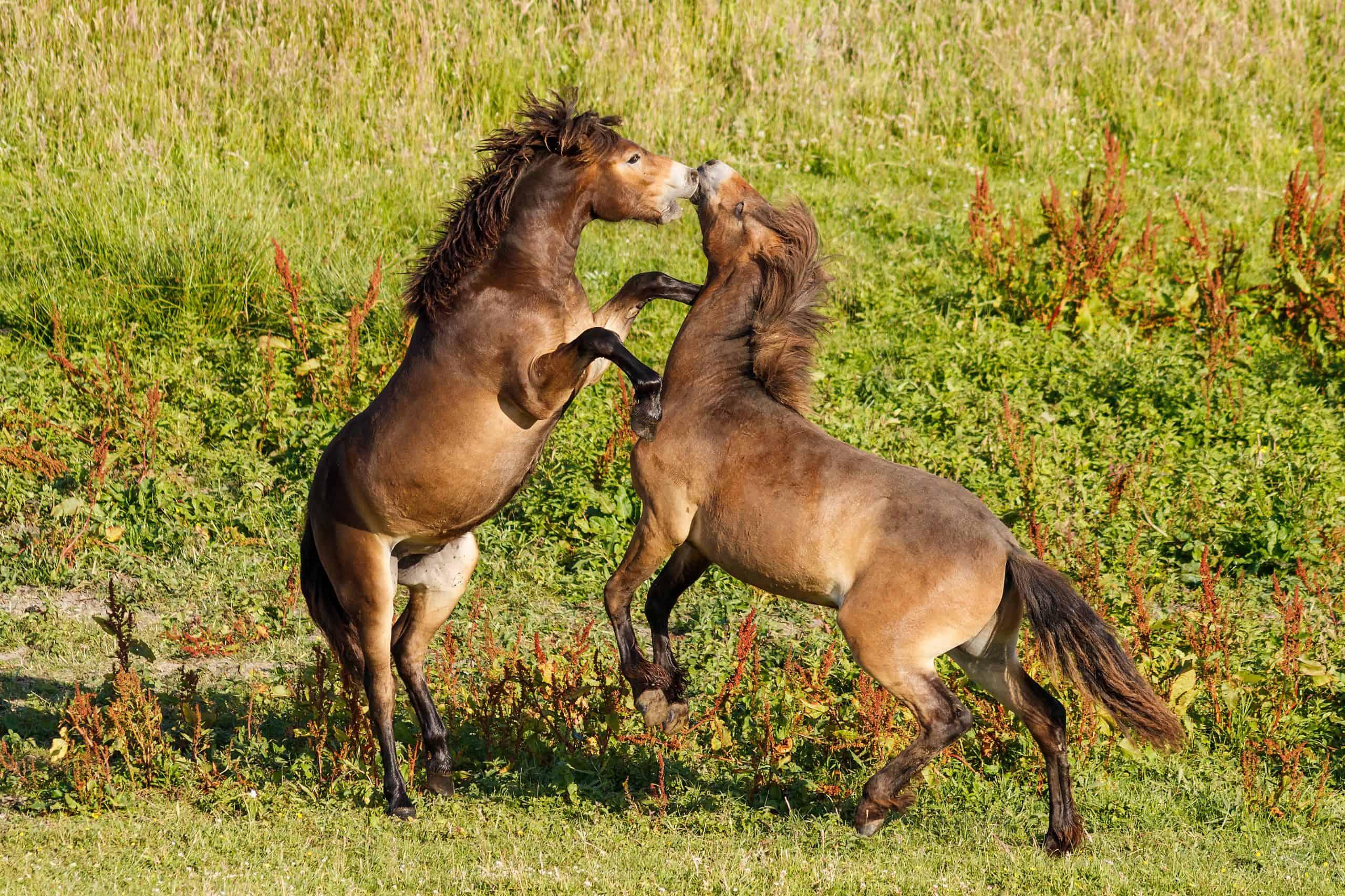 Exmoor Ponys