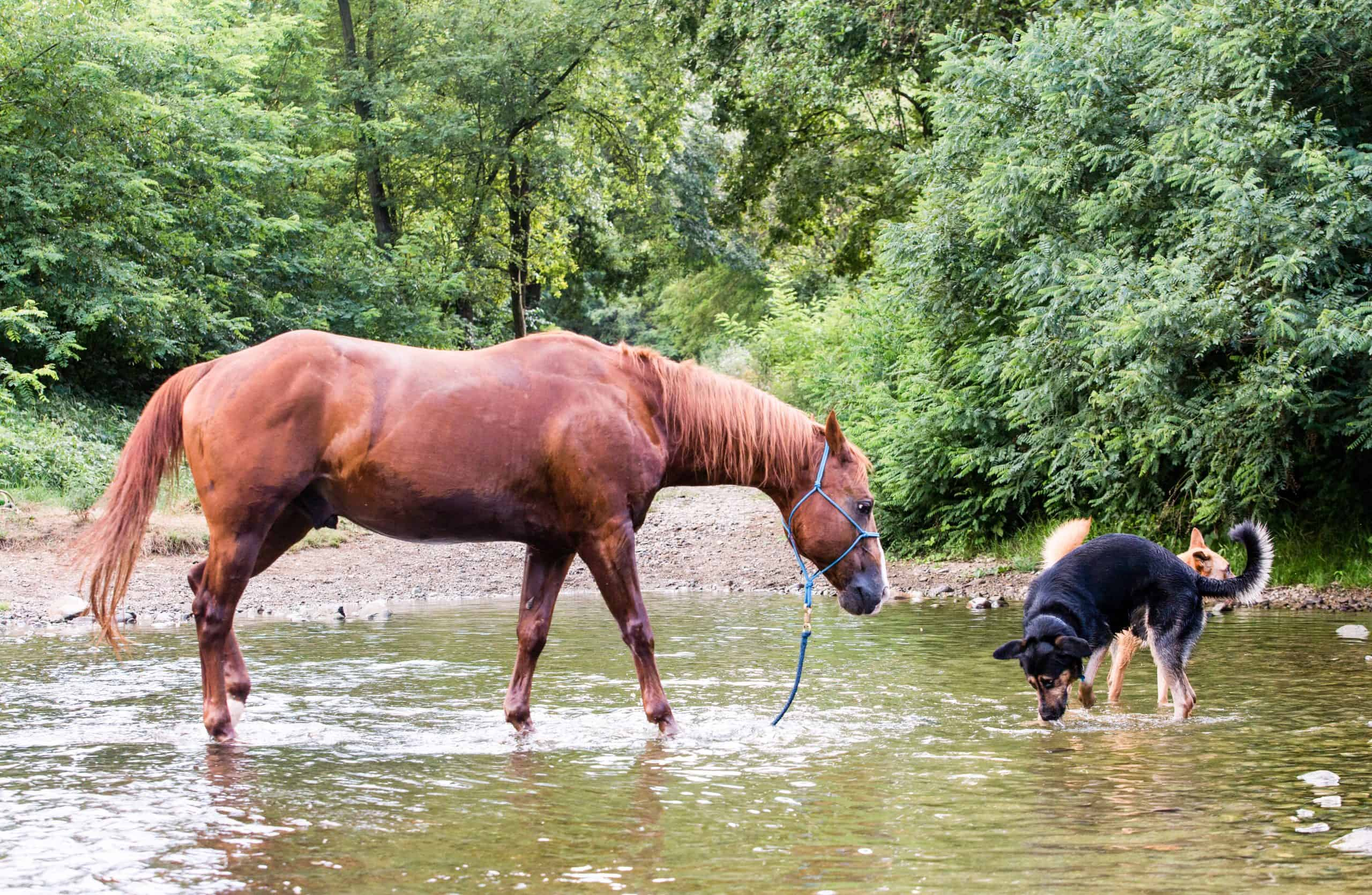 horse and dogs drinking in a river