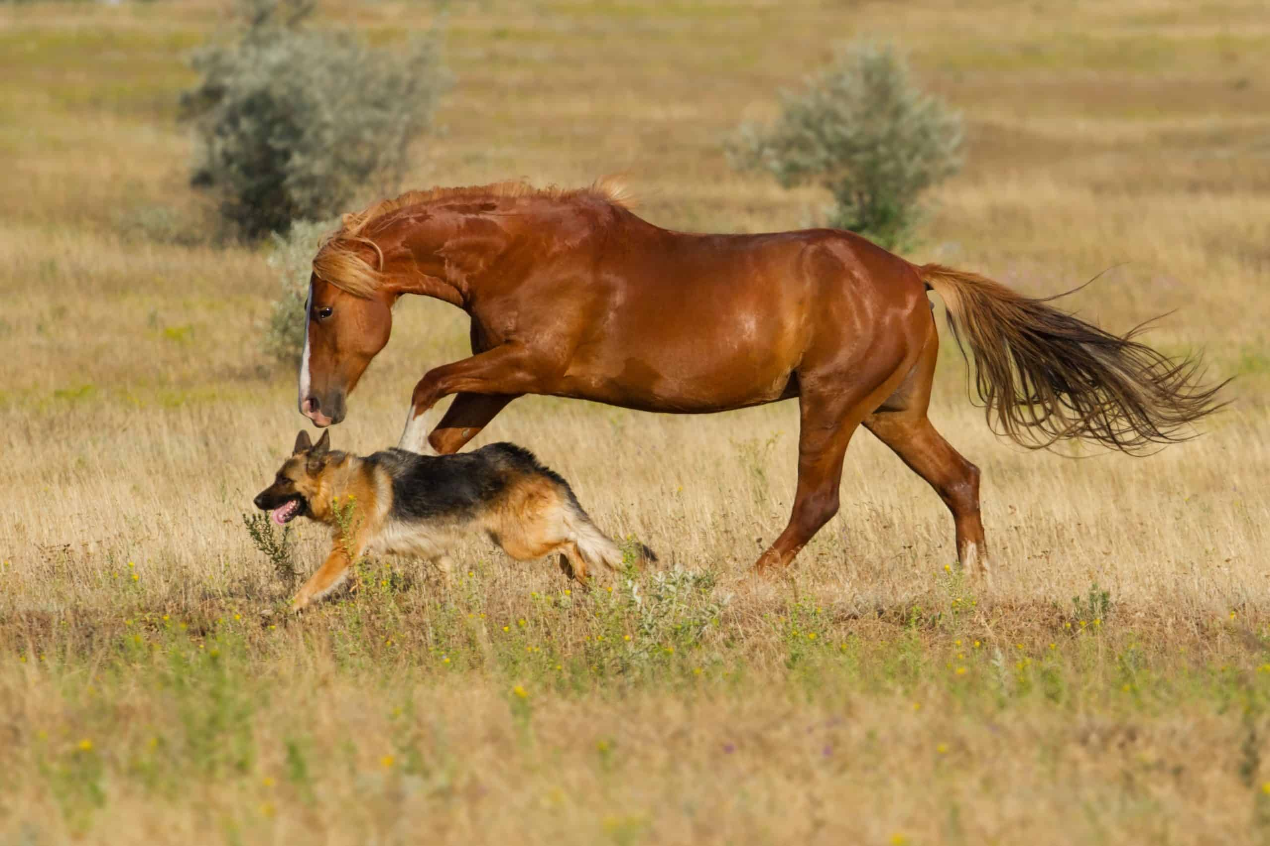 Red horse and dog play in the meadow