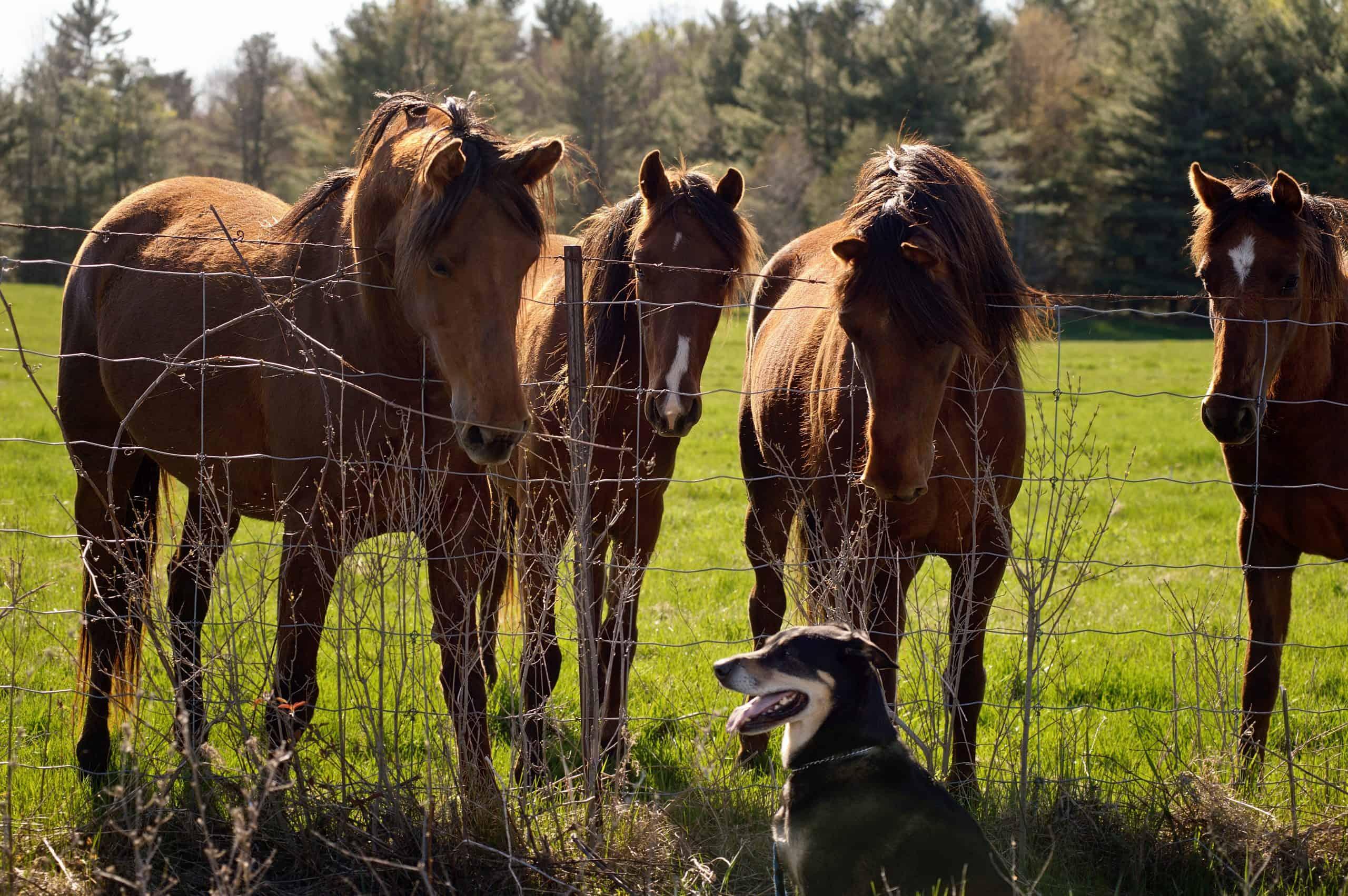 4 horses looking at a dog.