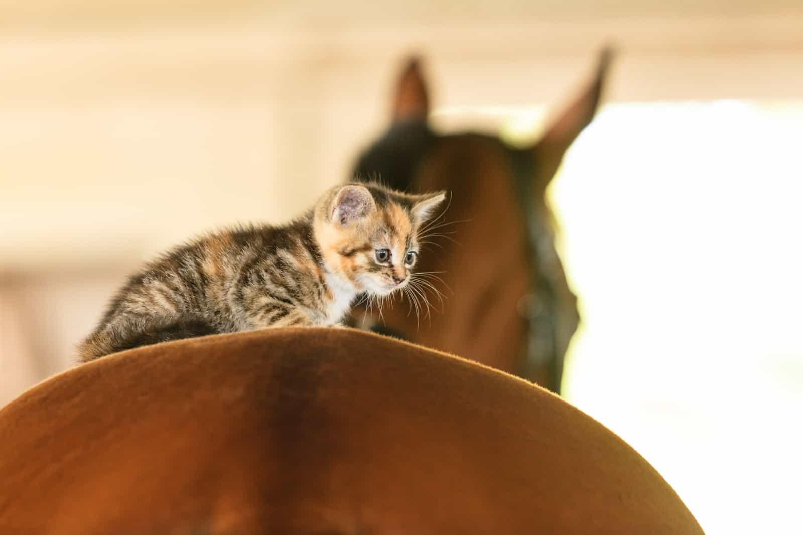 Little cute kitten kitty cat pet animal on horse horseback.