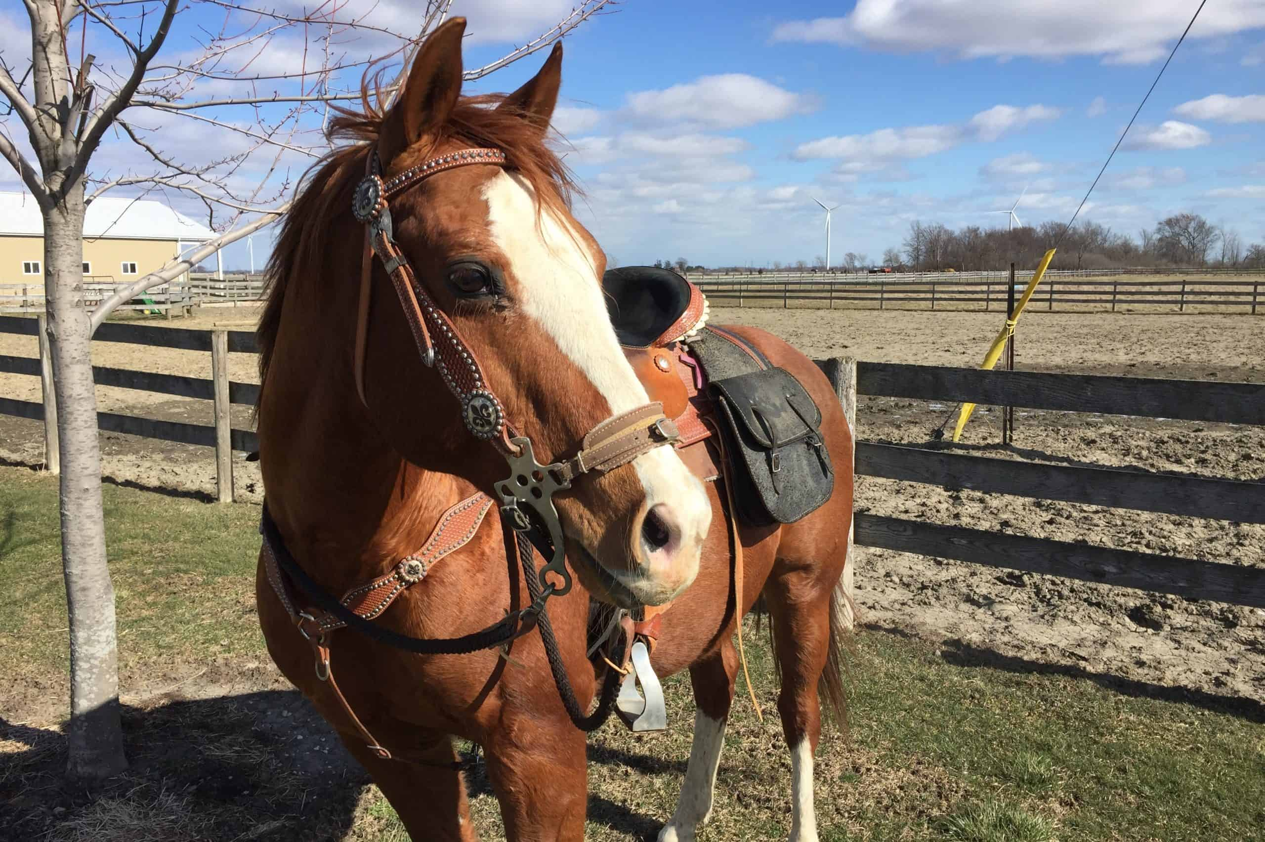 Quarter Horse Gelding before a ride