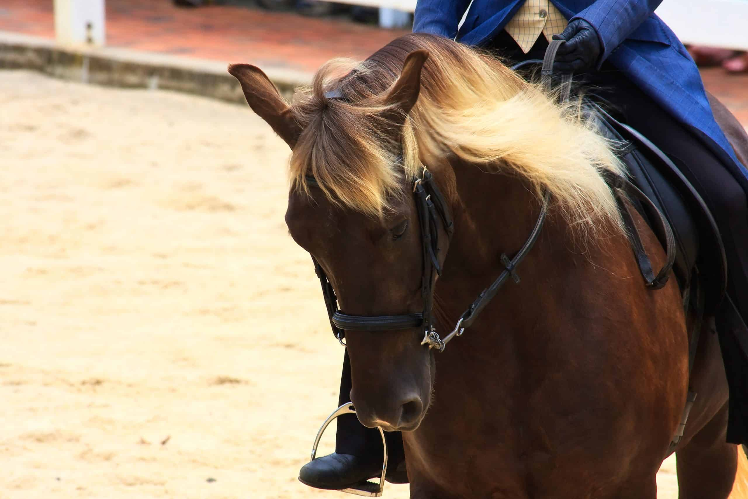 Rocky Mountain Horse breed being ridden