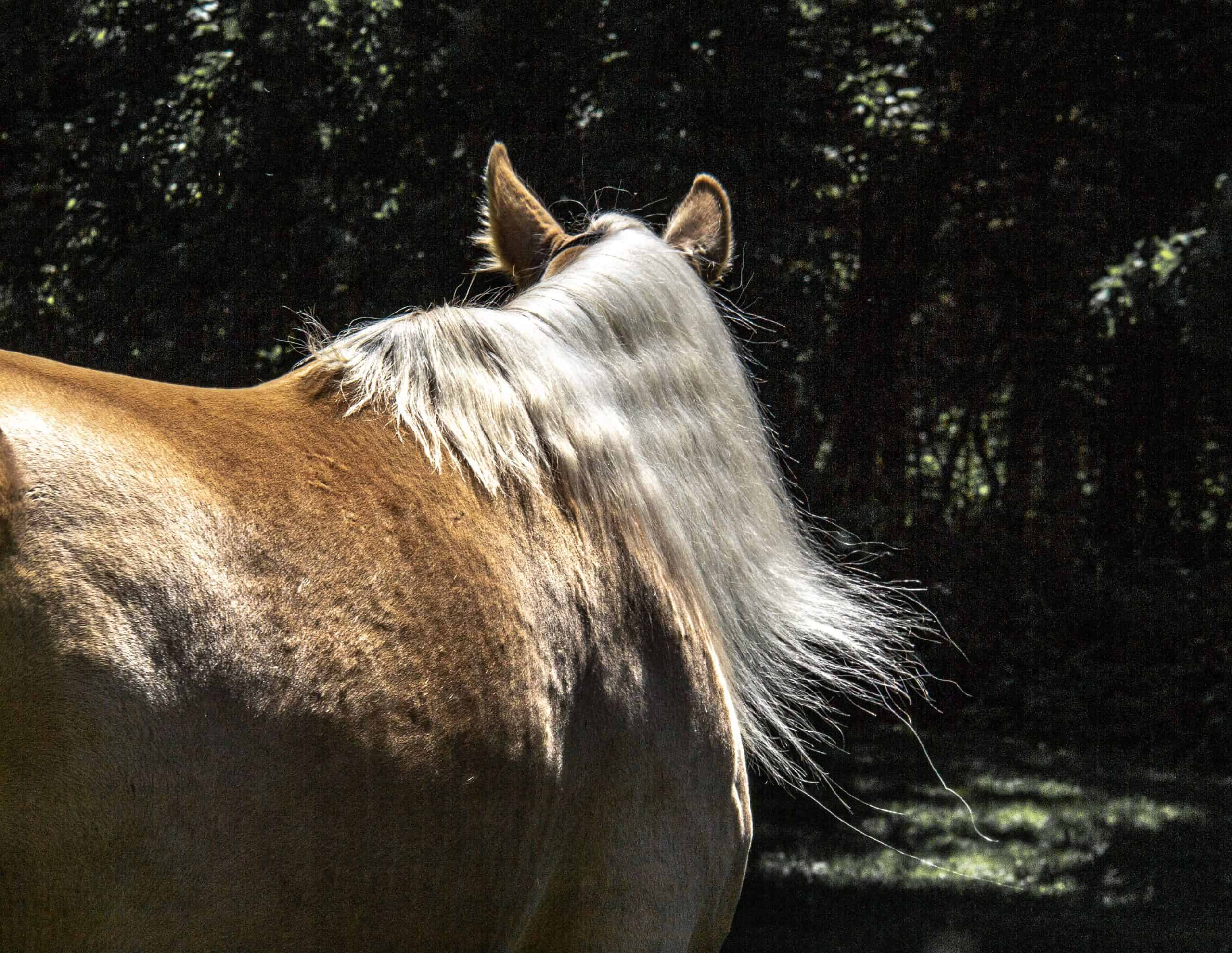 Rear view of brown Rocky Mounting horse with long blond mane