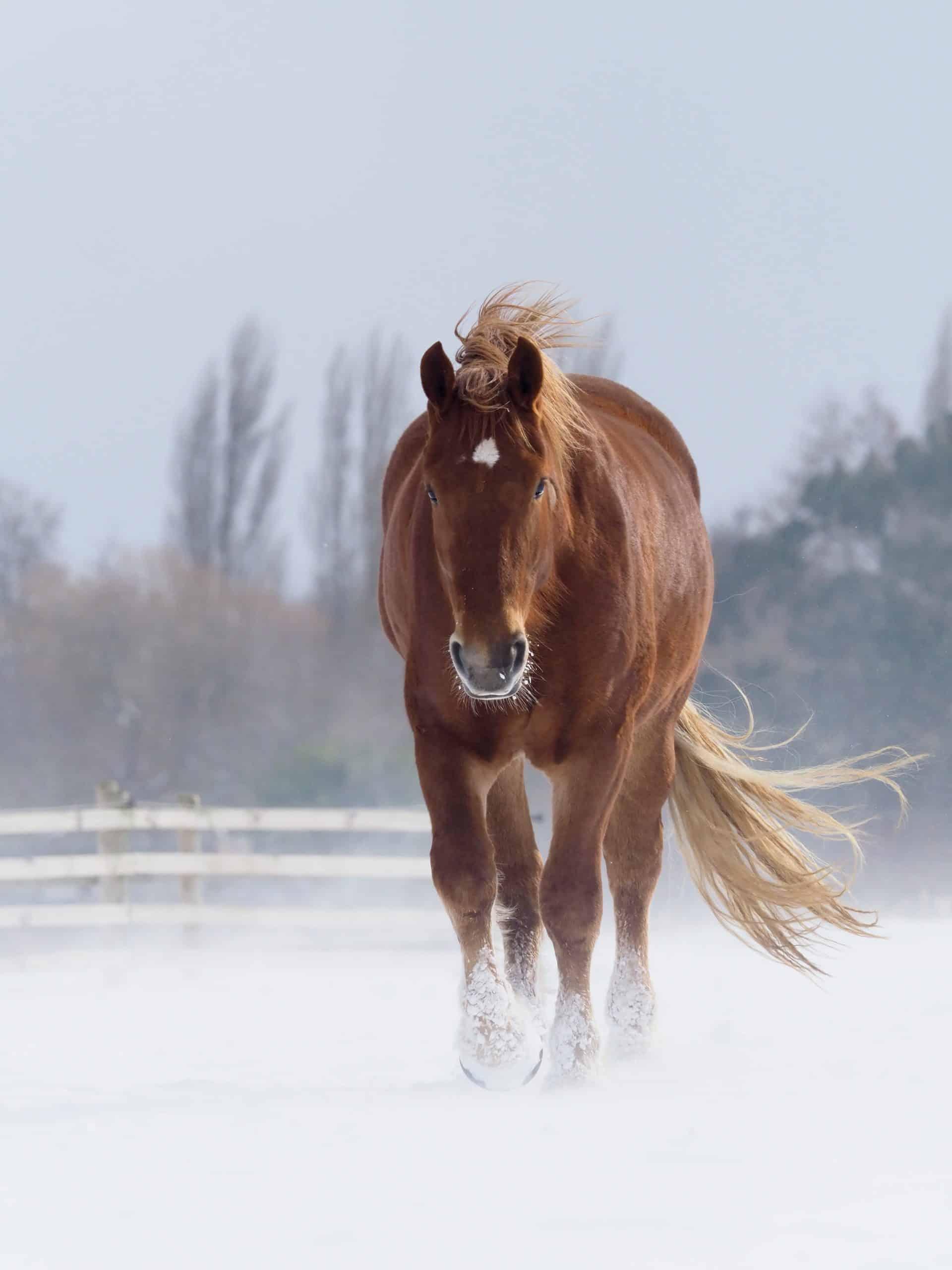 most endangered horse breeds suffolk punch