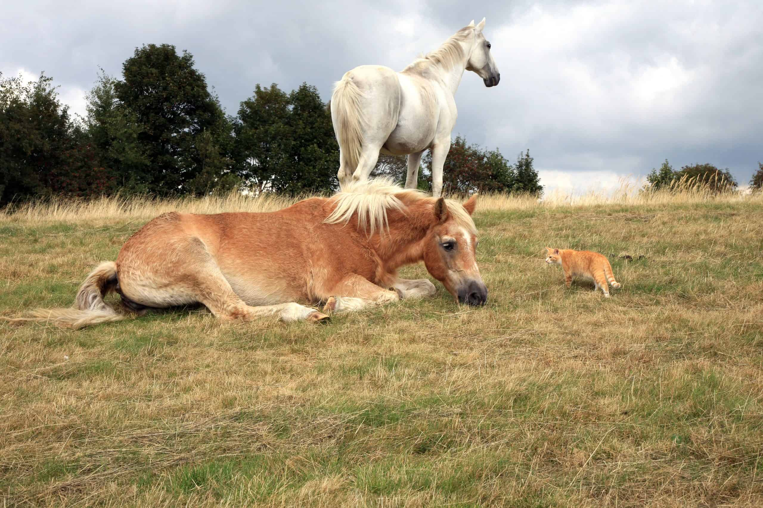 Two, white and brown horses resting on the meadow. Ginger cat creeps up to them.