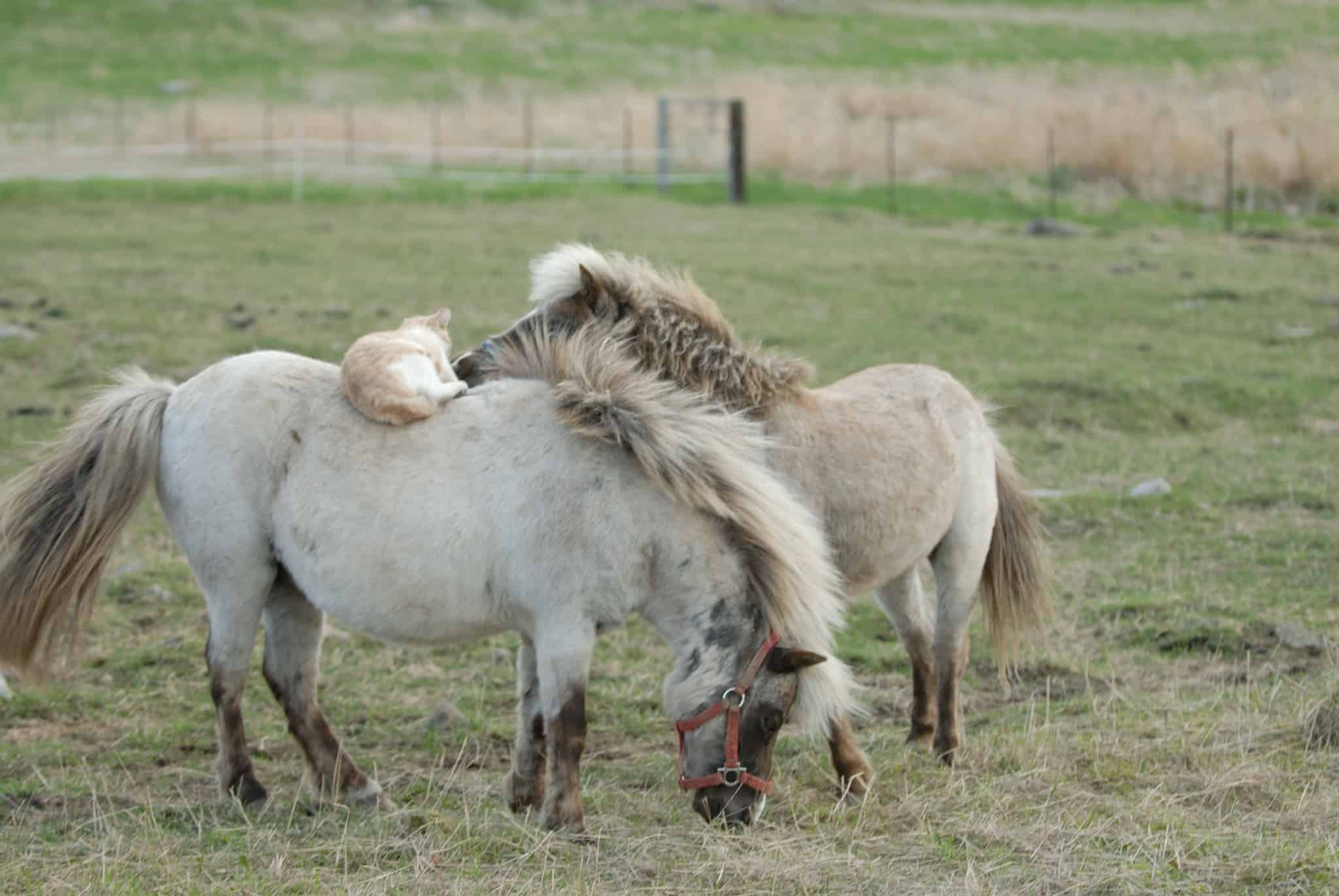 two mini horses with a cat
