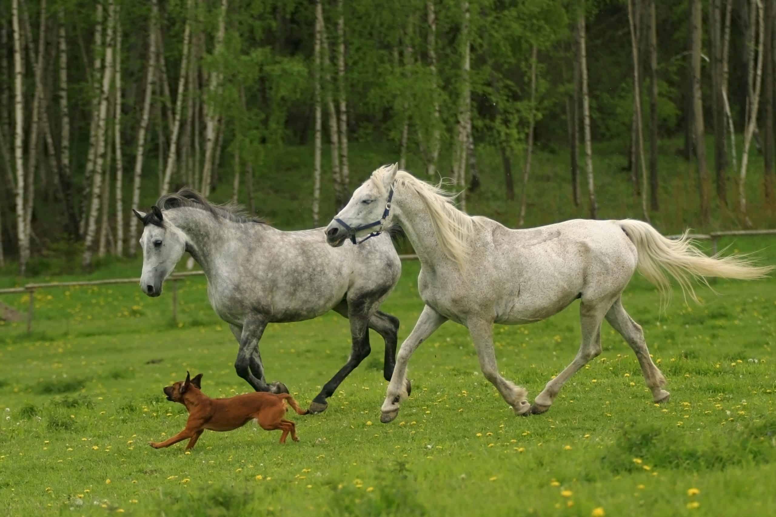 running Arabian horses and dog, Shagya arab, white horses