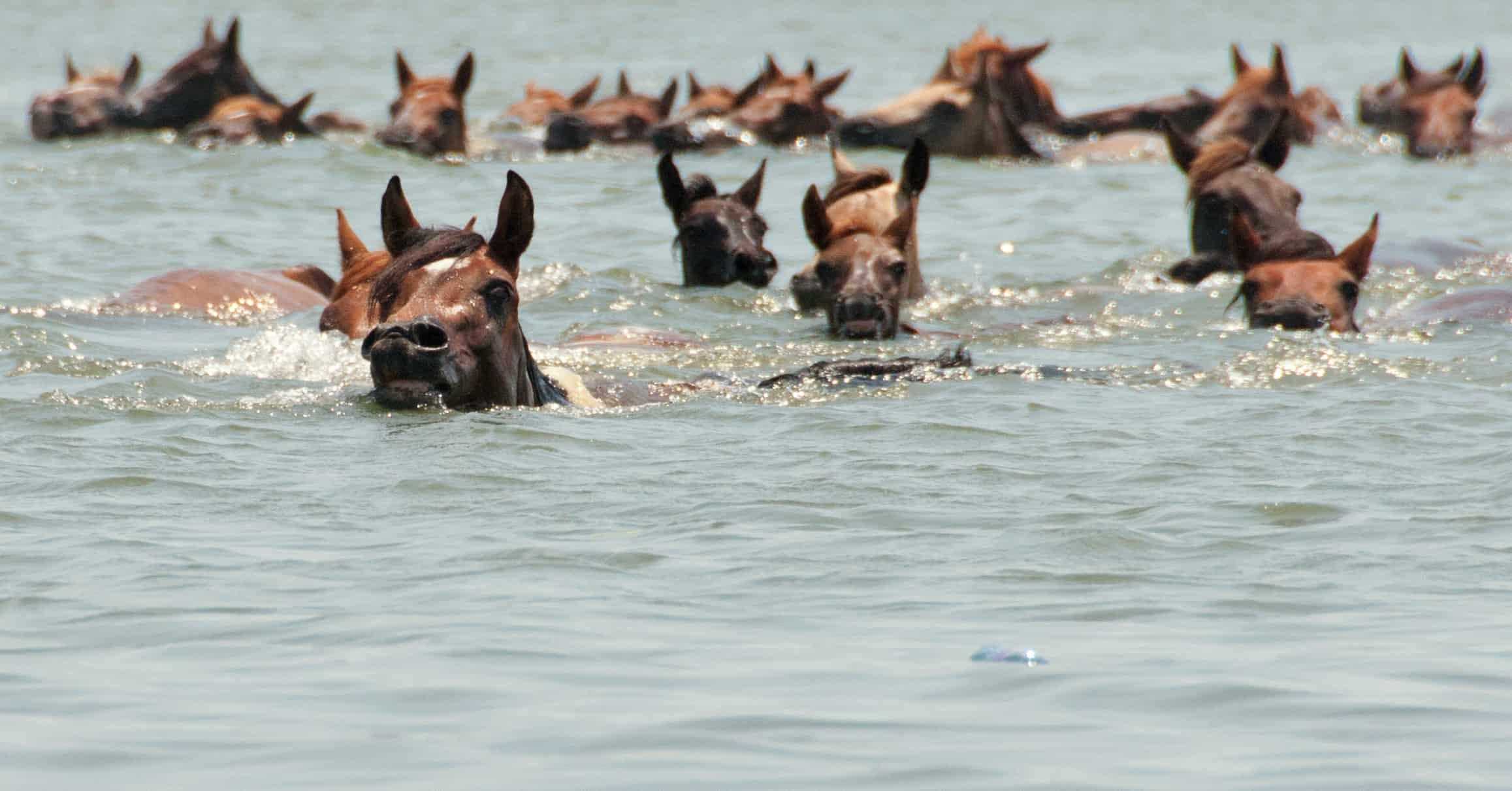 Chincoteague_Pony_swim_by_Bonnie_Gruenberg