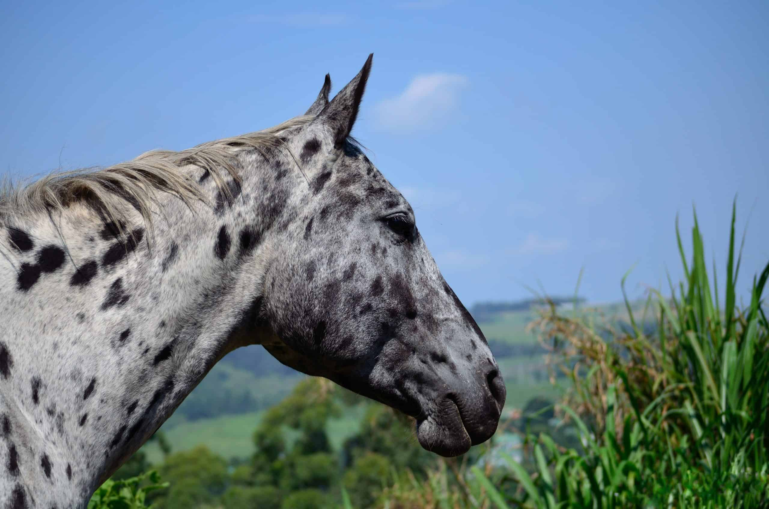 A spotted appaloosa head