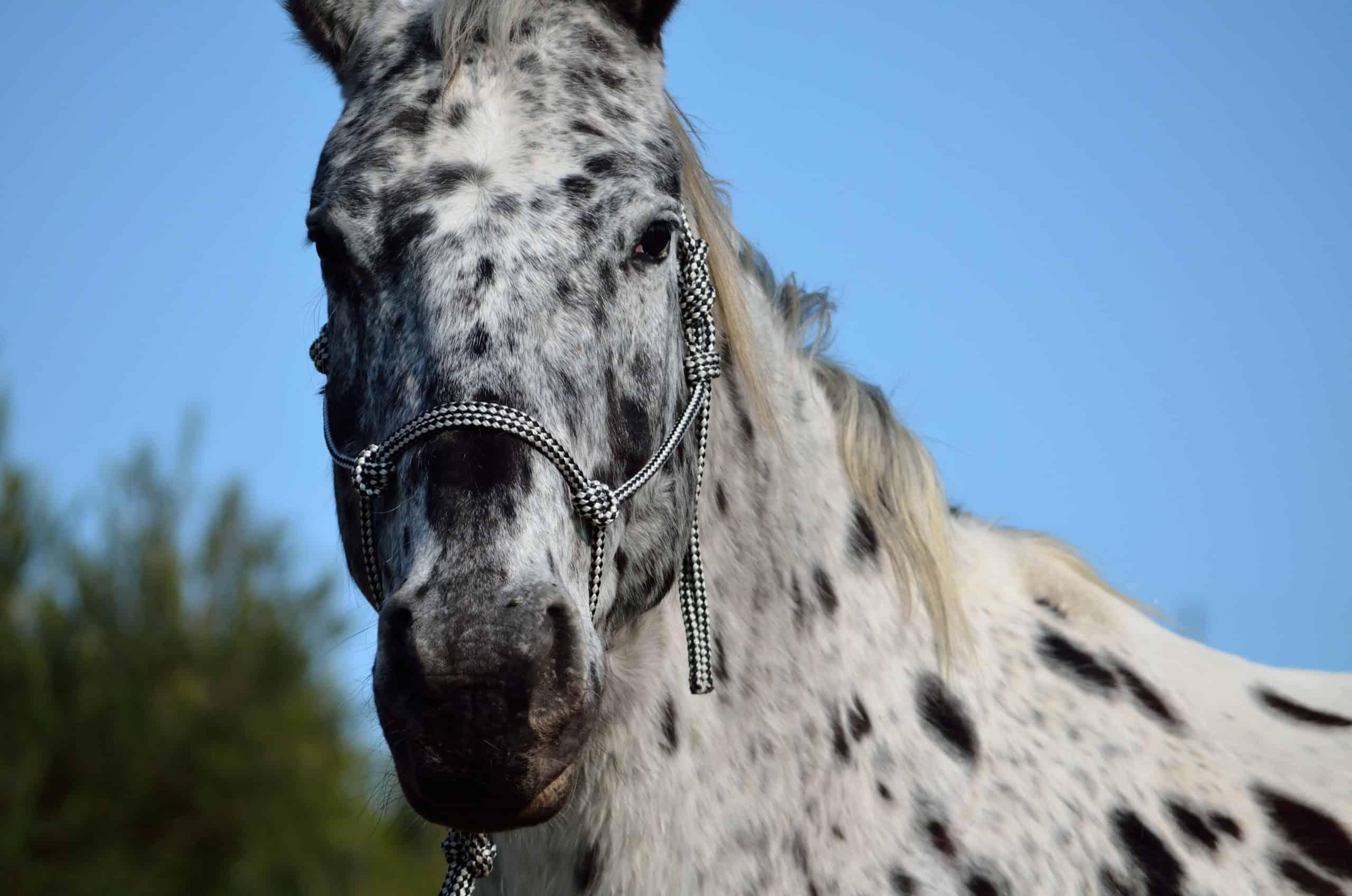 A appaloosa gelding nose