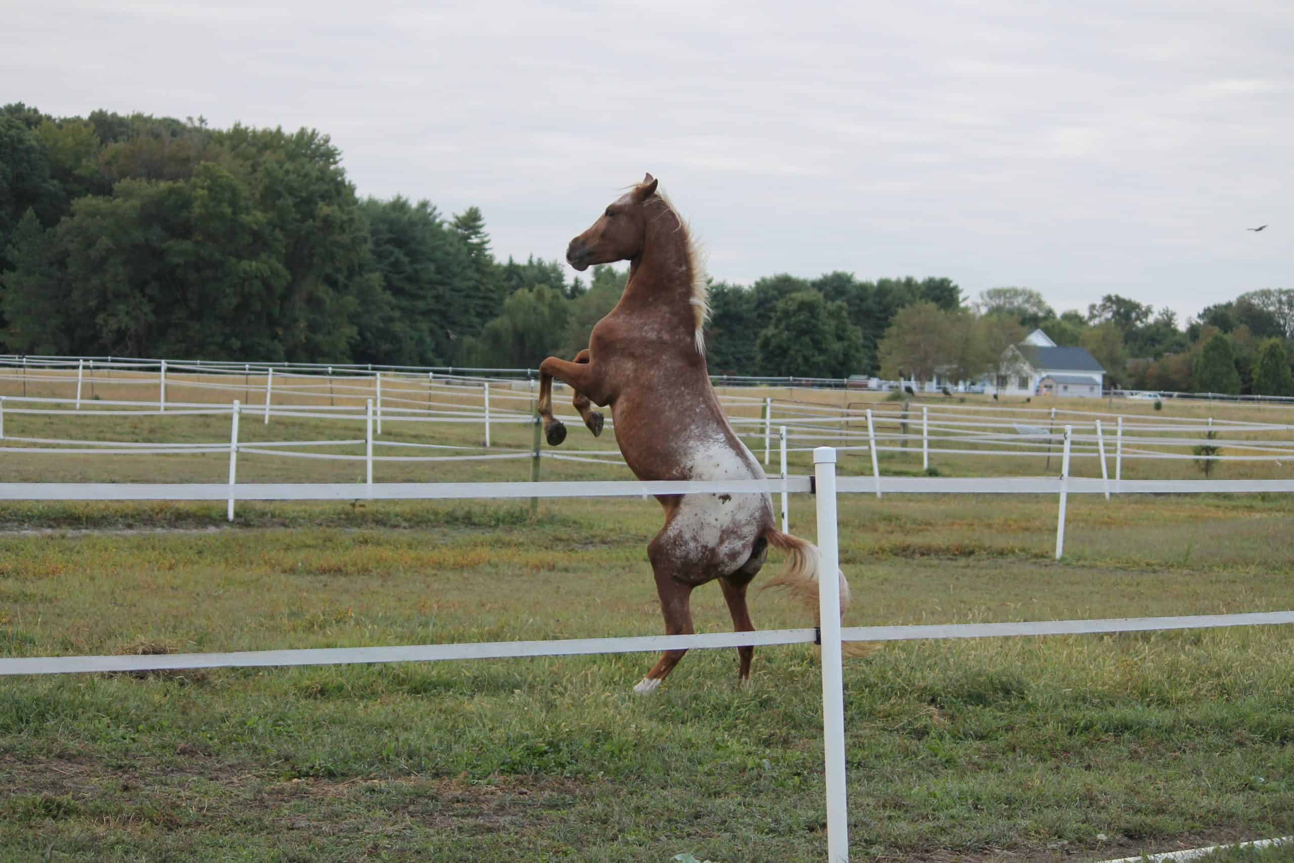 Frisky young Appaloosa horse rears up on hind legs in fenced pasture. White electric fencing separates the pastures.
