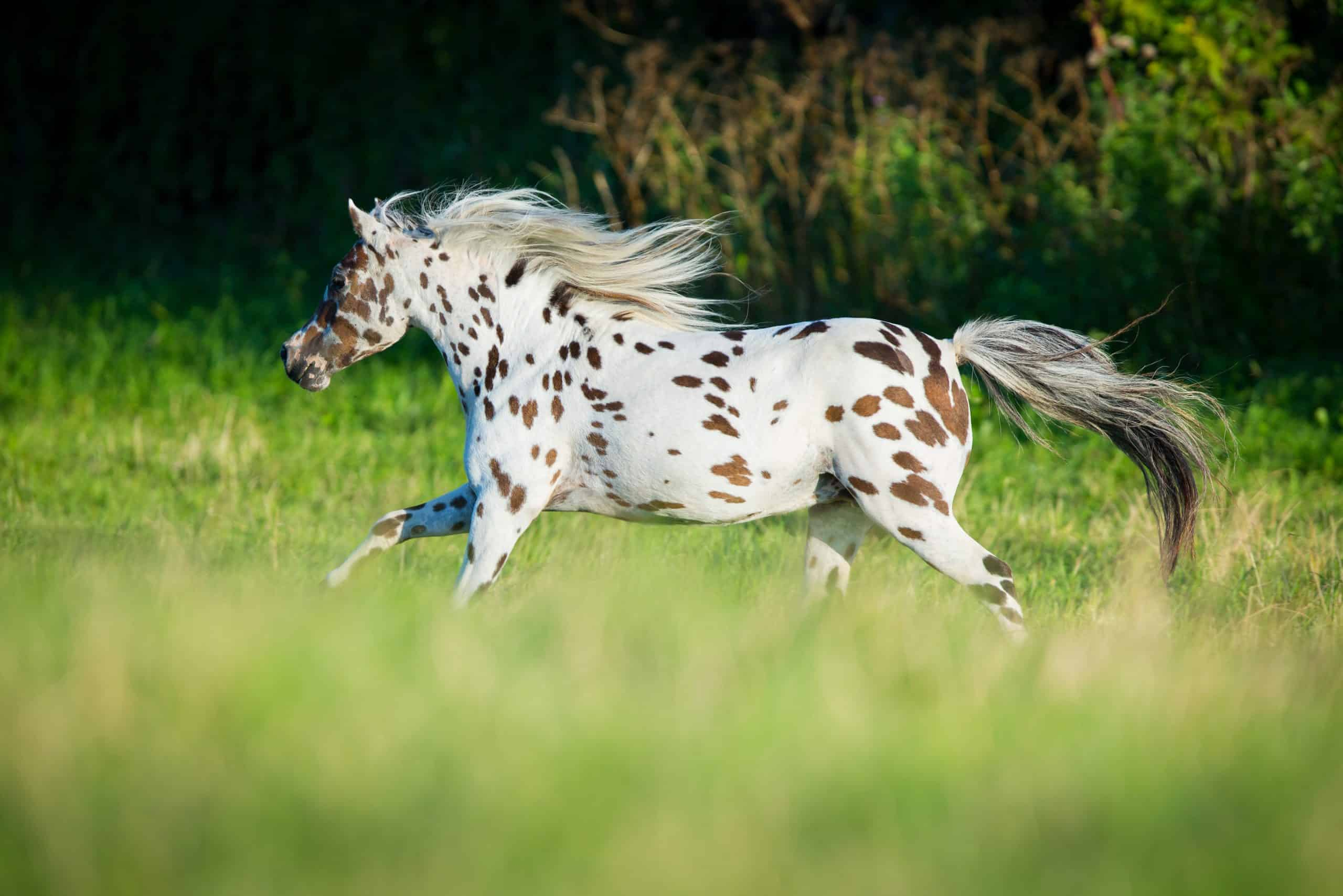 appaloosa spotted horse breed