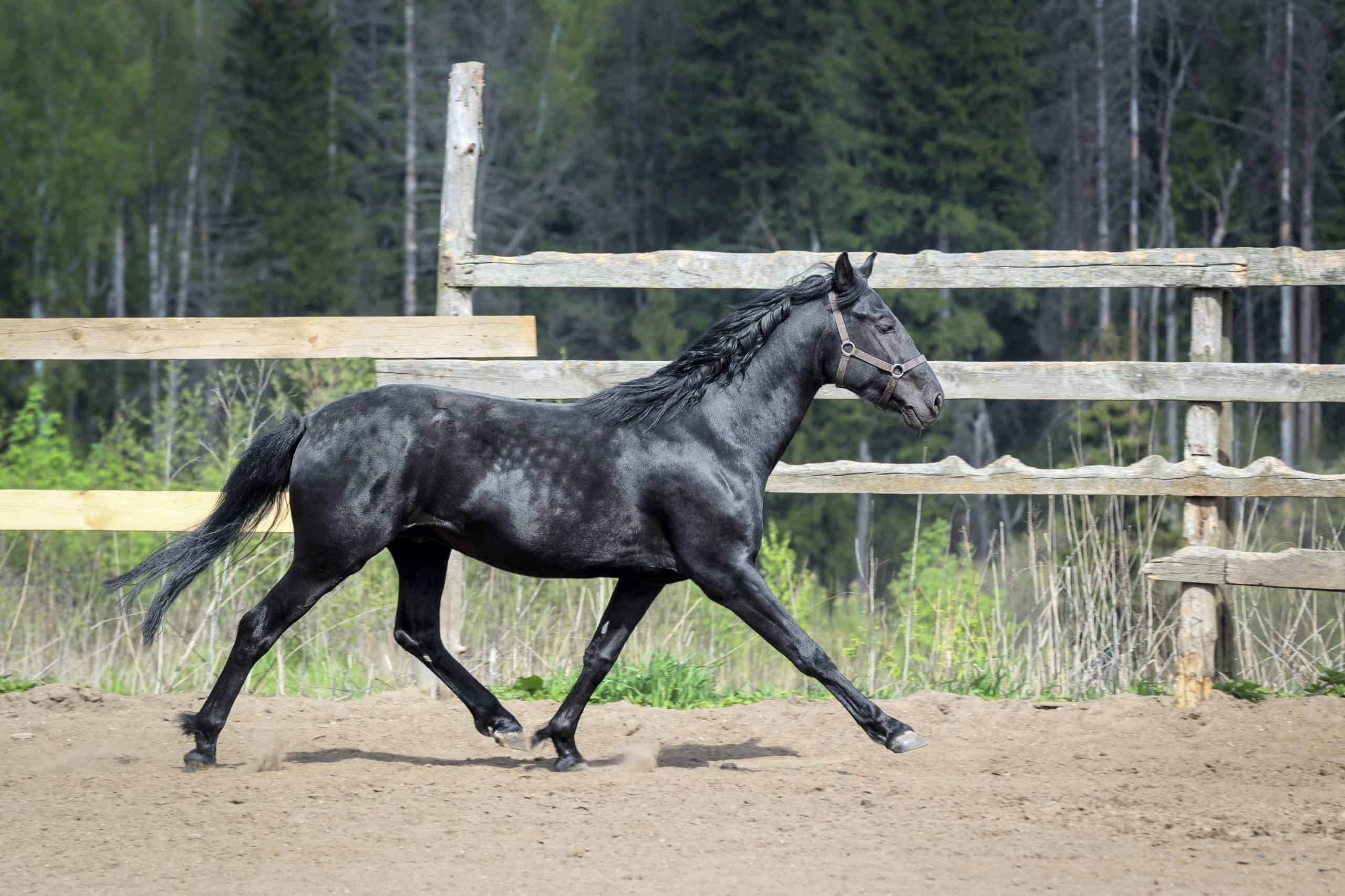 Black horse trotting in the paddock
