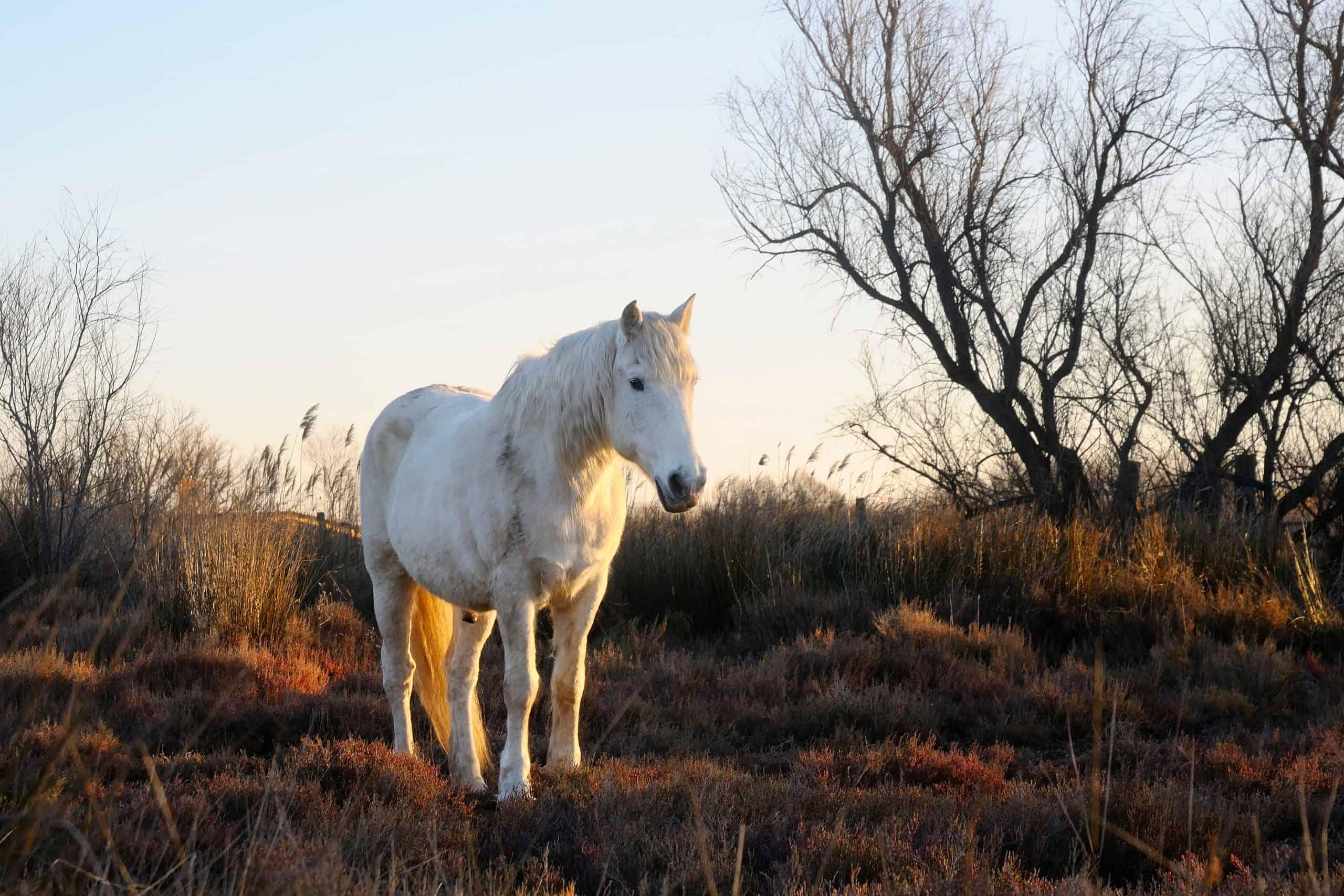 A white Camargue horse in a field.