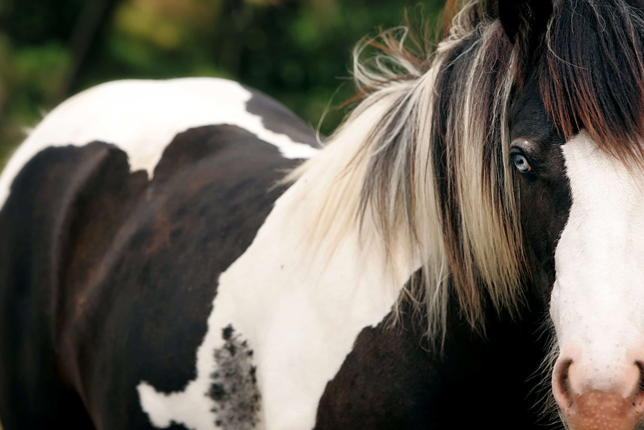 Close up of Blue Eyed Gypsy Horse