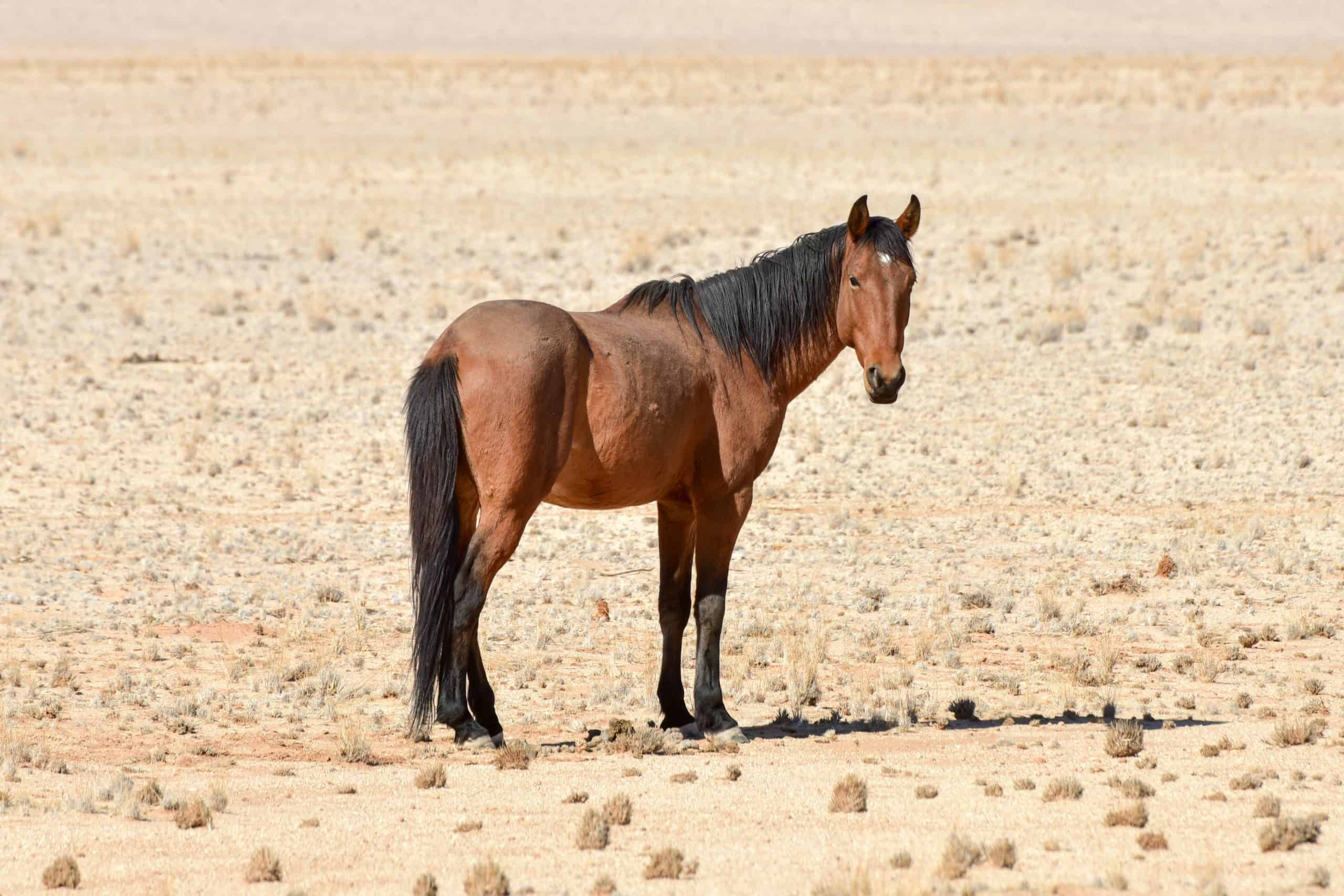 Horses in the desert landscape of Namibia.